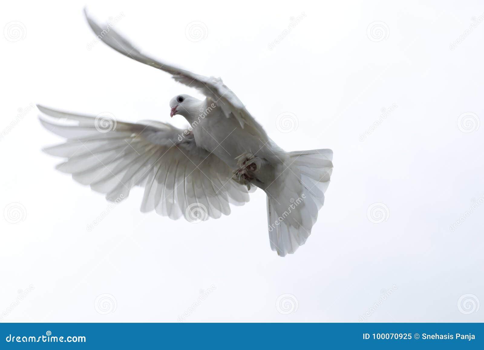 Weiße Taube tauchte Fliegen in den ausgedehnten Flügeln der Himmelfreiheit Hoffnung