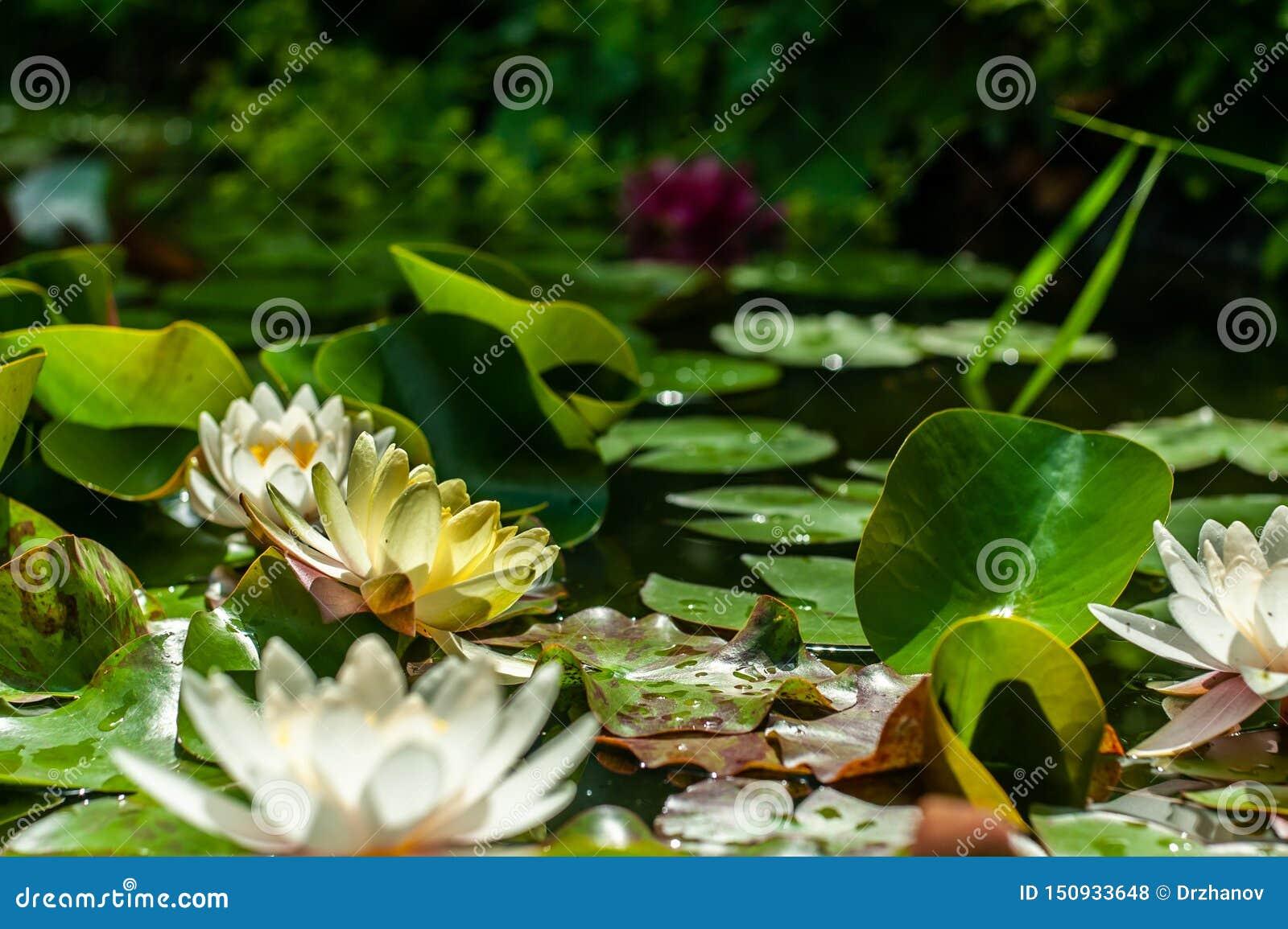Weiße und gelbe Nymphaea- oder Seeroseblumen und grüne Blätter im Wasser der Gartenteichnahaufnahme