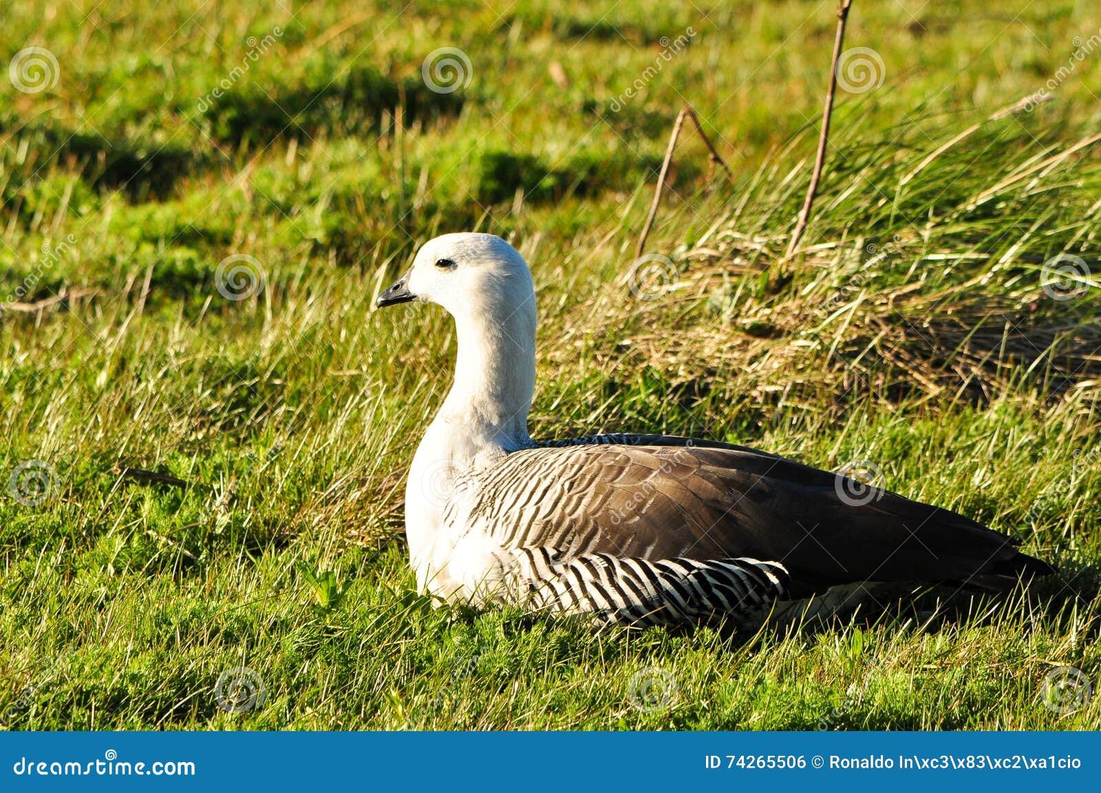 Weiße und graue Ente