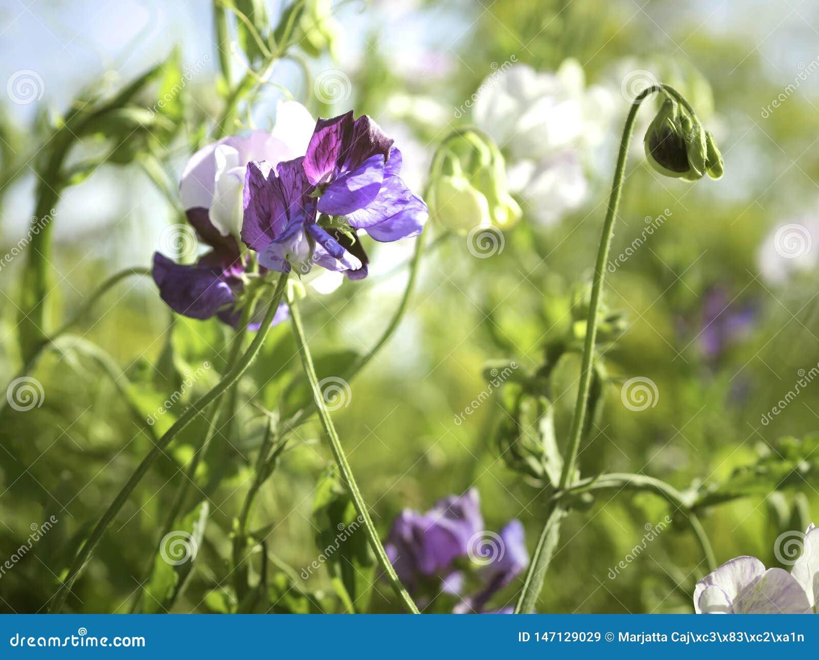 Weiße und purpurrote Blumen von Edelwicke Lathyrus odoratus, das in einem Garten wächst