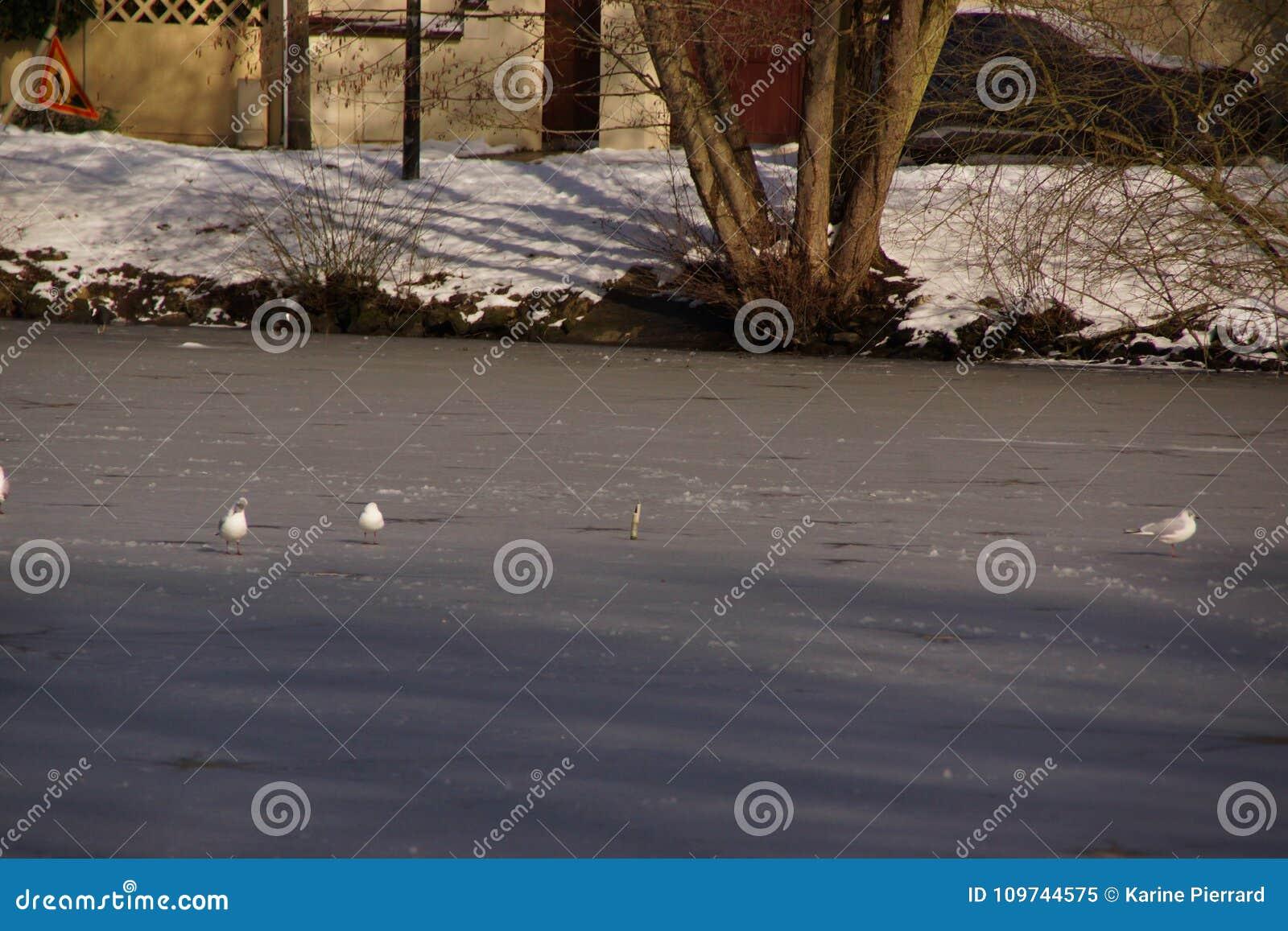Weiße Vögel - Teich des Stummen in der Stadt von Elancourt in Frankreich