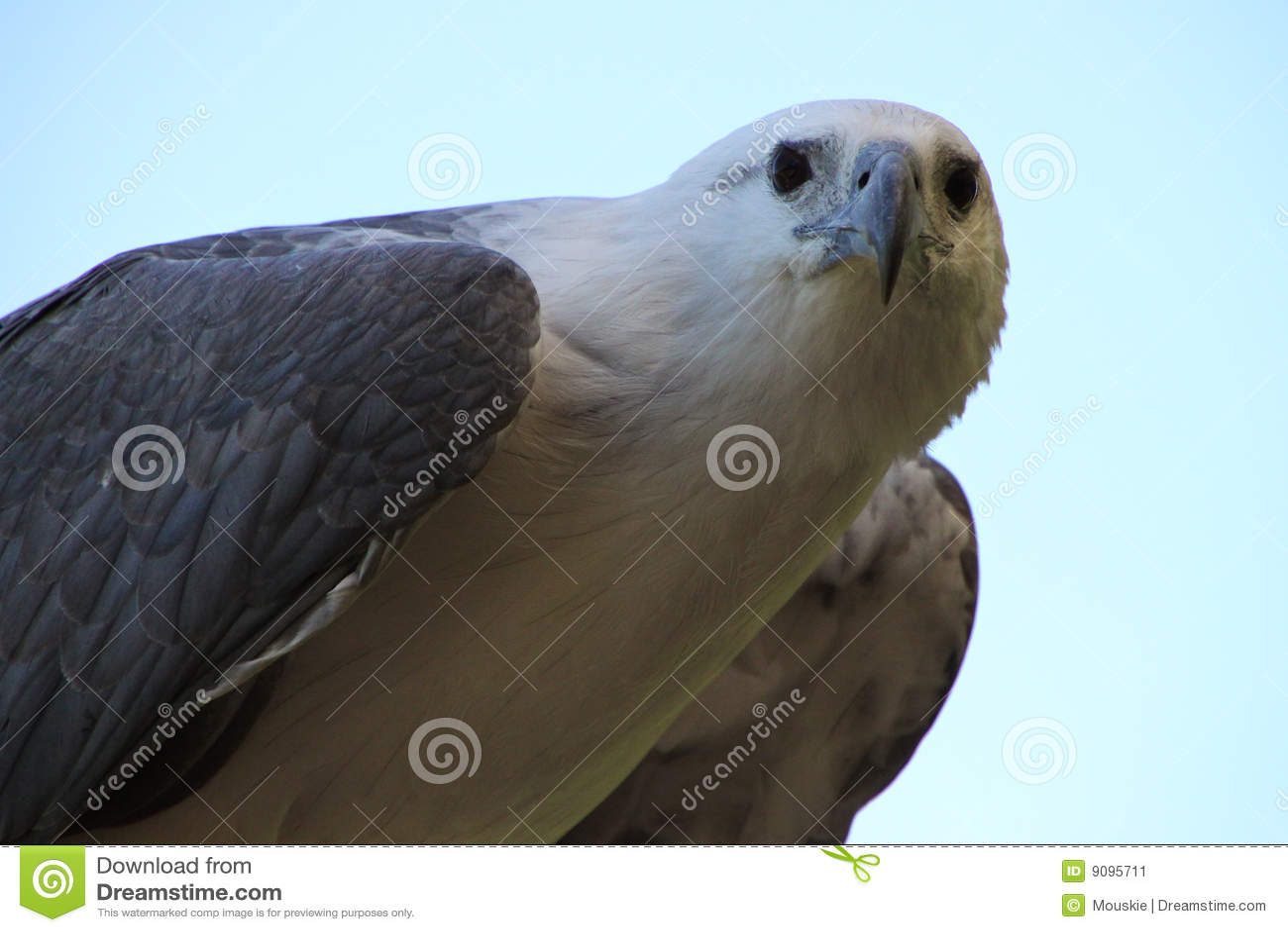 Weißer Adler
