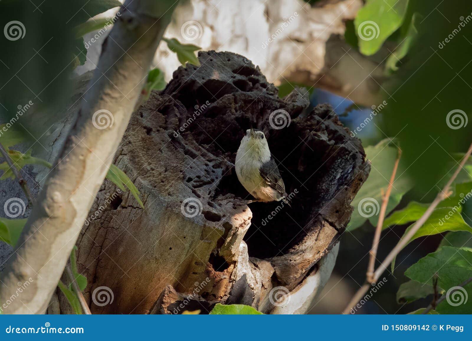 Weißer Breasted-Kleiber gehockt auf einem Baumstamm