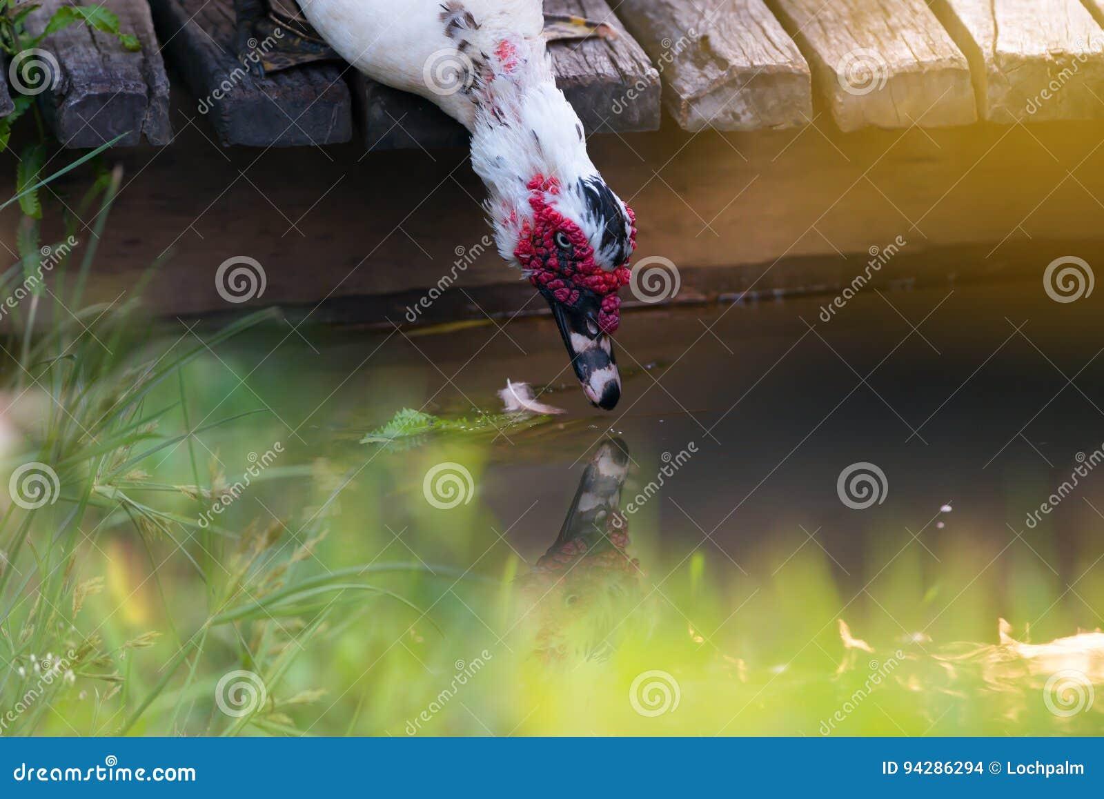 Weißer Entenlebensraum
