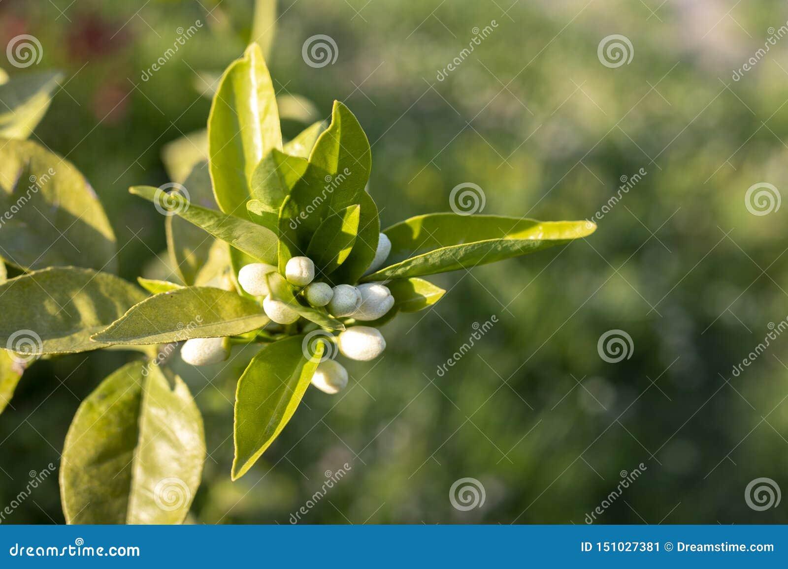 Weißer grüner Naturhintergrund der Orangenbaumblume