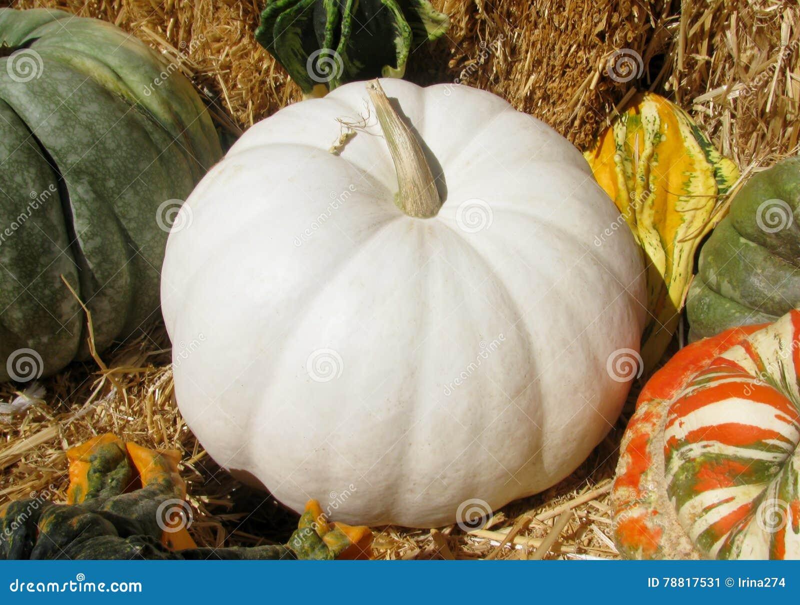 Weißer Großer Kürbis Stockbild Bild Von Landwirtschaft 78817531