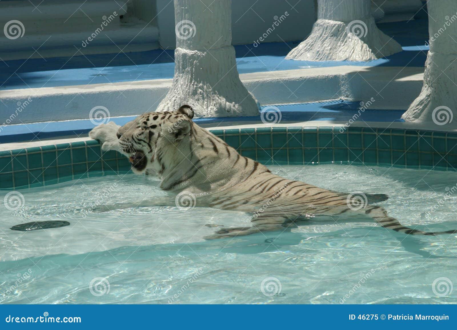 Weißer heißer Tiger