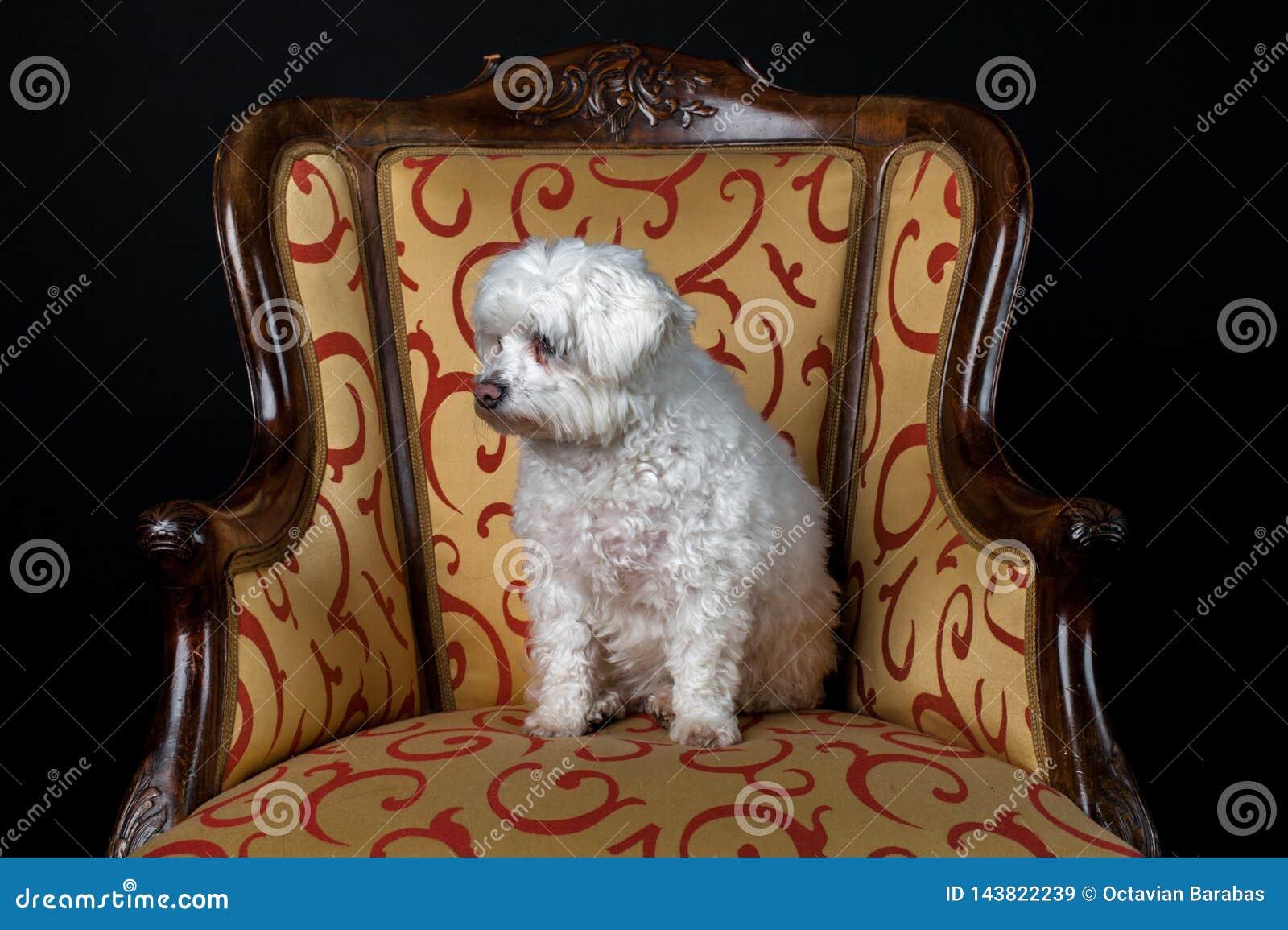 Weißer Hund, der im Weinleselehnsessel sitzt