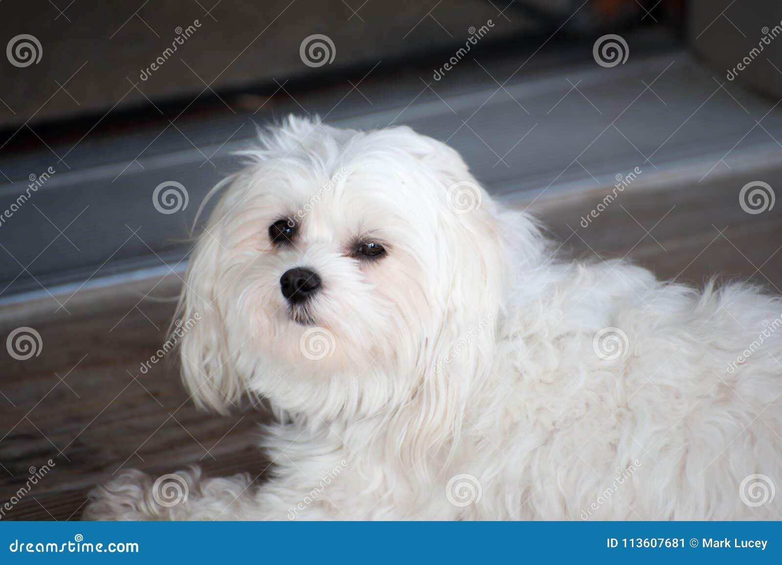 Weißer kleiner maltesischer entspannender Hund