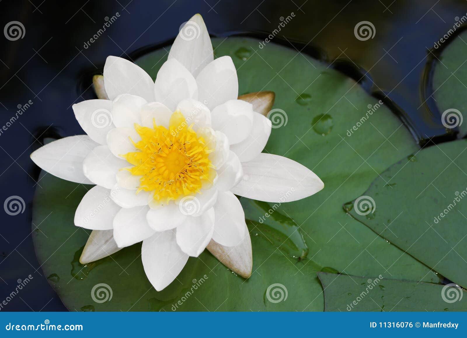 Weißer Lotos