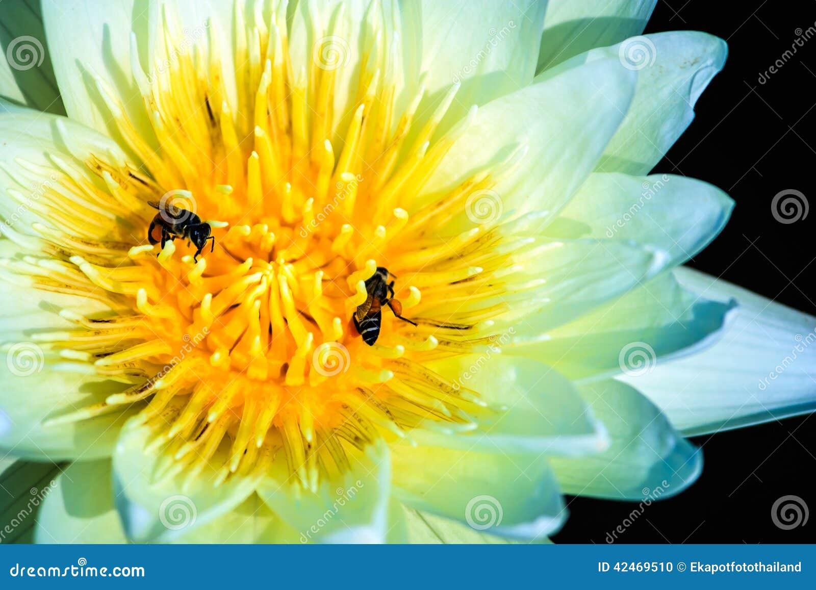 Weißer Lotos und Bienen