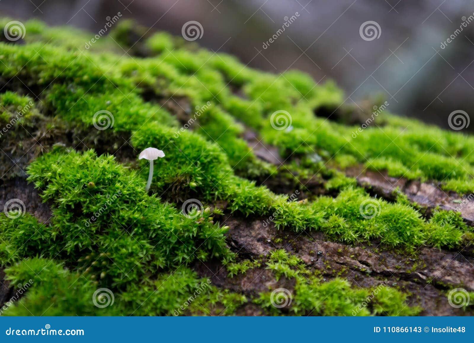 Weißer Pilz auf Baumrinde, unter dem Grün, helles, Pelzmoos