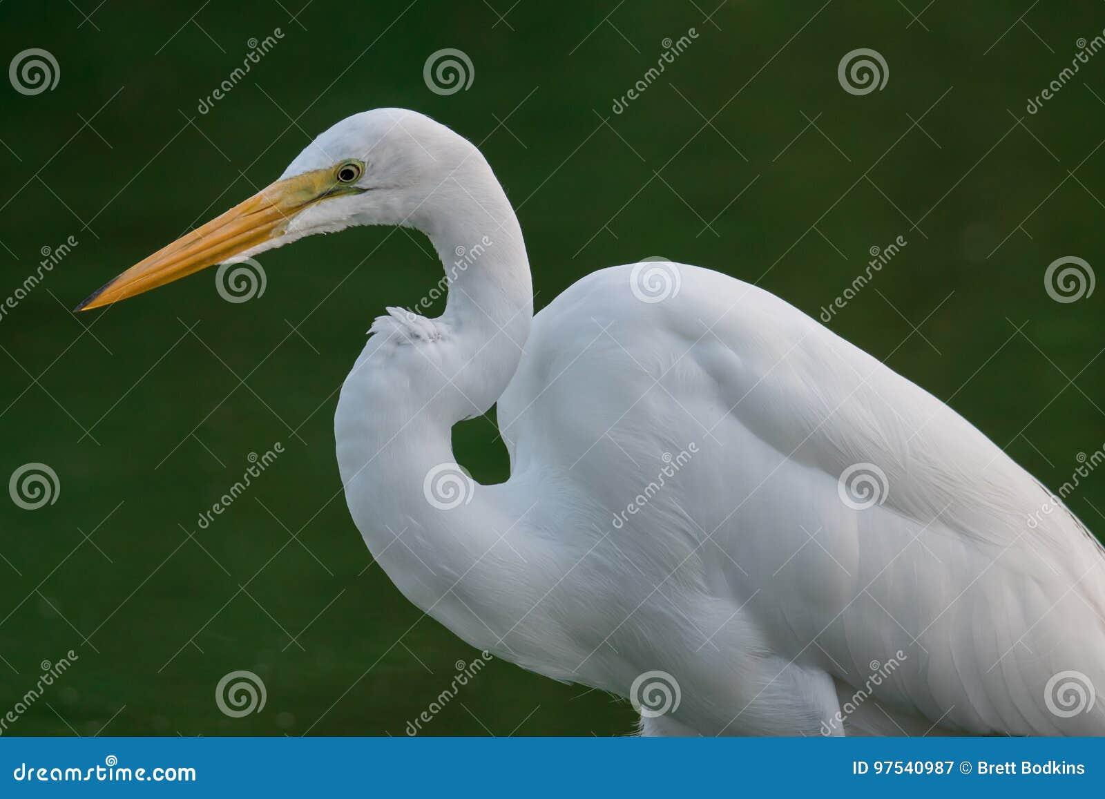 Weißer Reiher im Sumpf