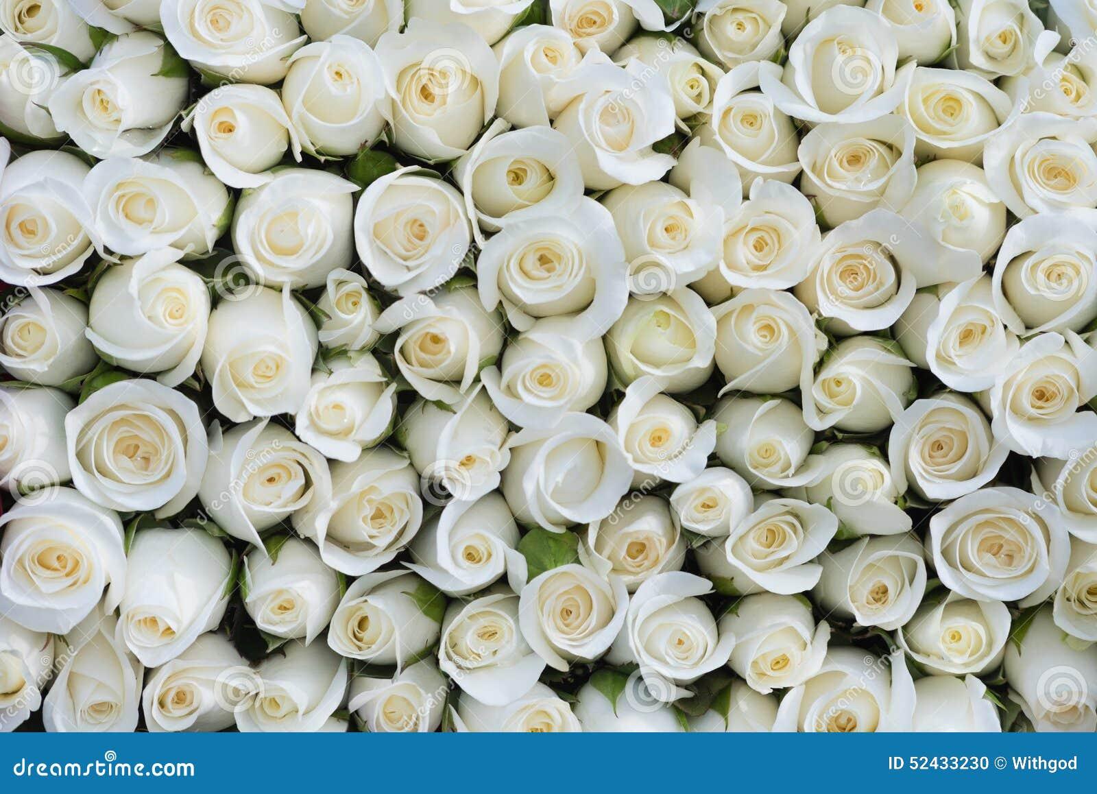 Weißer Rosehintergrund