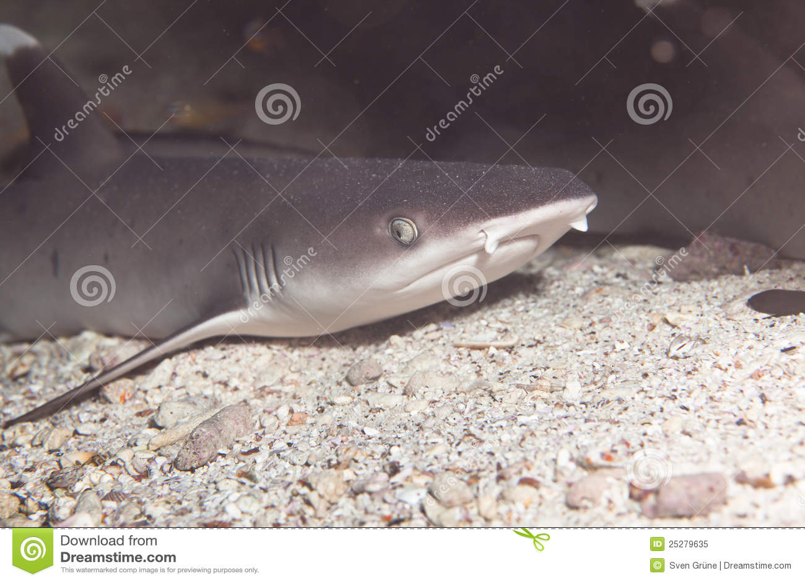 Download Weißer Spitzerifhaifisch stockbild. Bild von unter, haifische - 25279635
