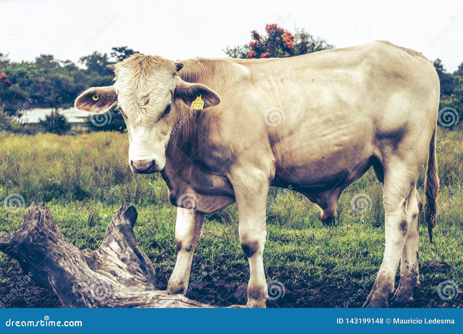 Weißer Stier, der heraus am Bauernhof hängt