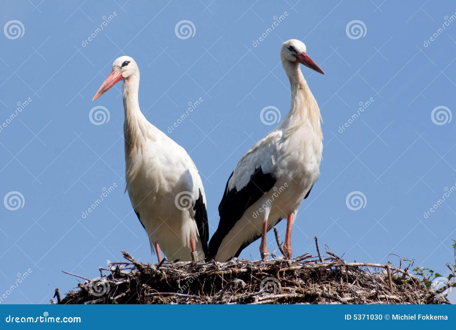 Weißer Storch an ihrem Nest