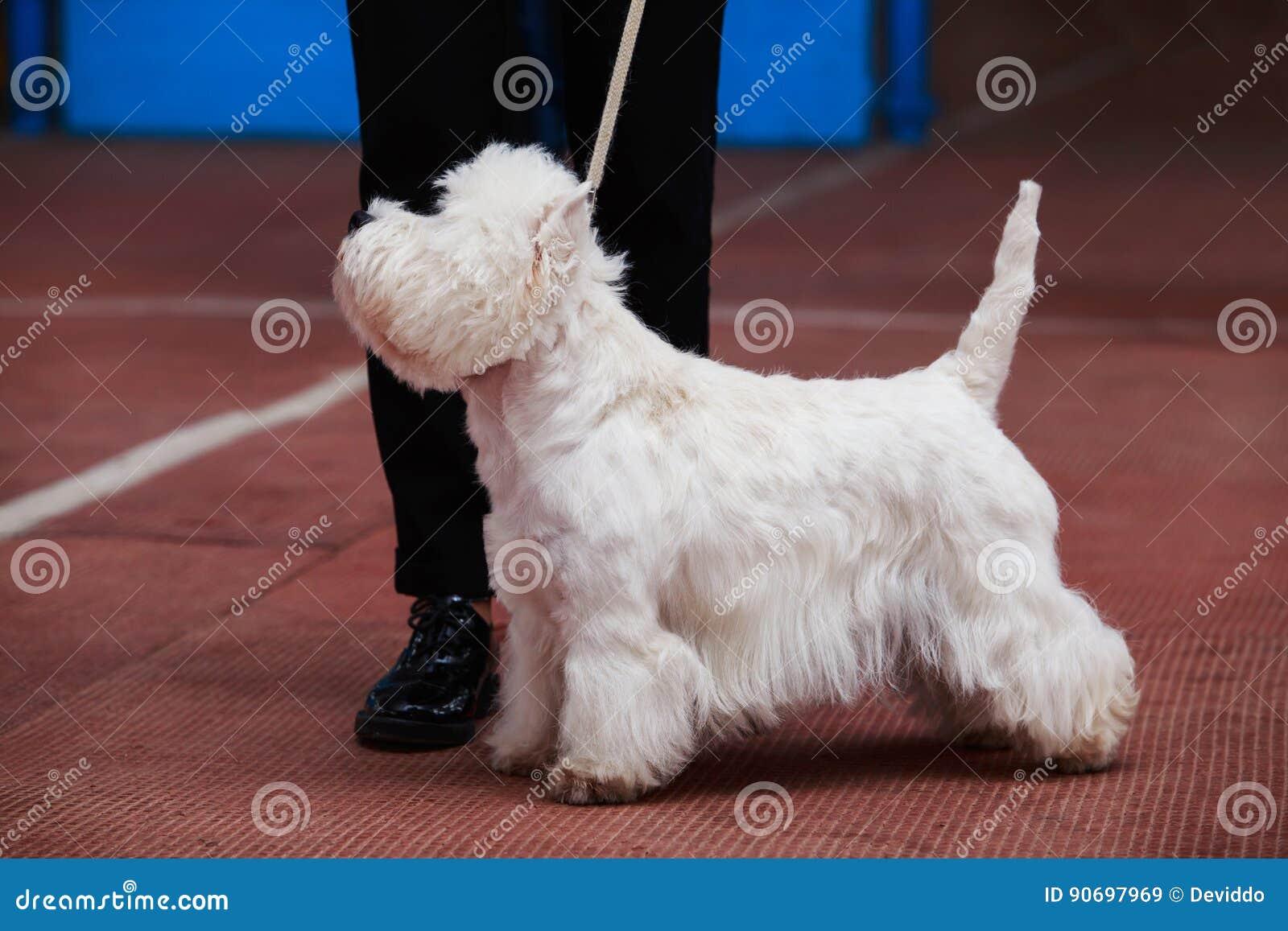 Weißer Terrier des Westhochlands