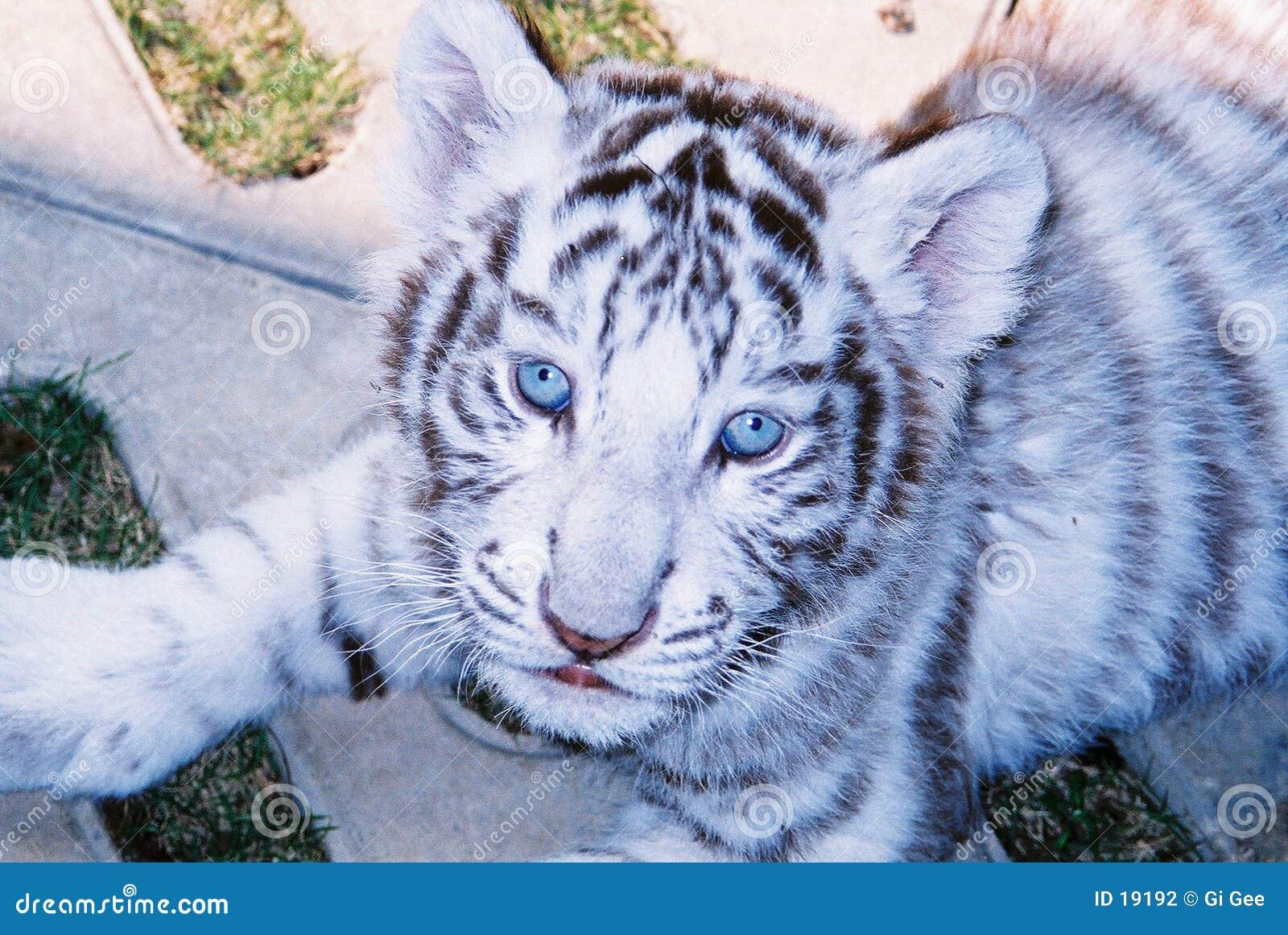 Weißer Tiger des Schätzchens in den blauen Augen