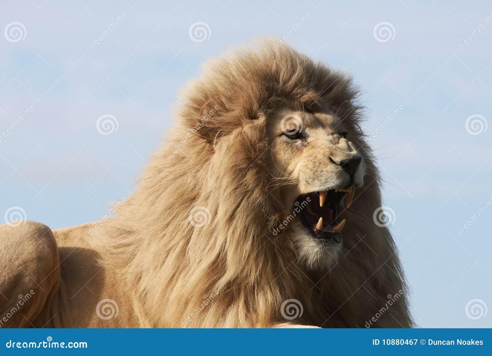 Weißer verwirrender Löwe stockbild. Bild von löwe