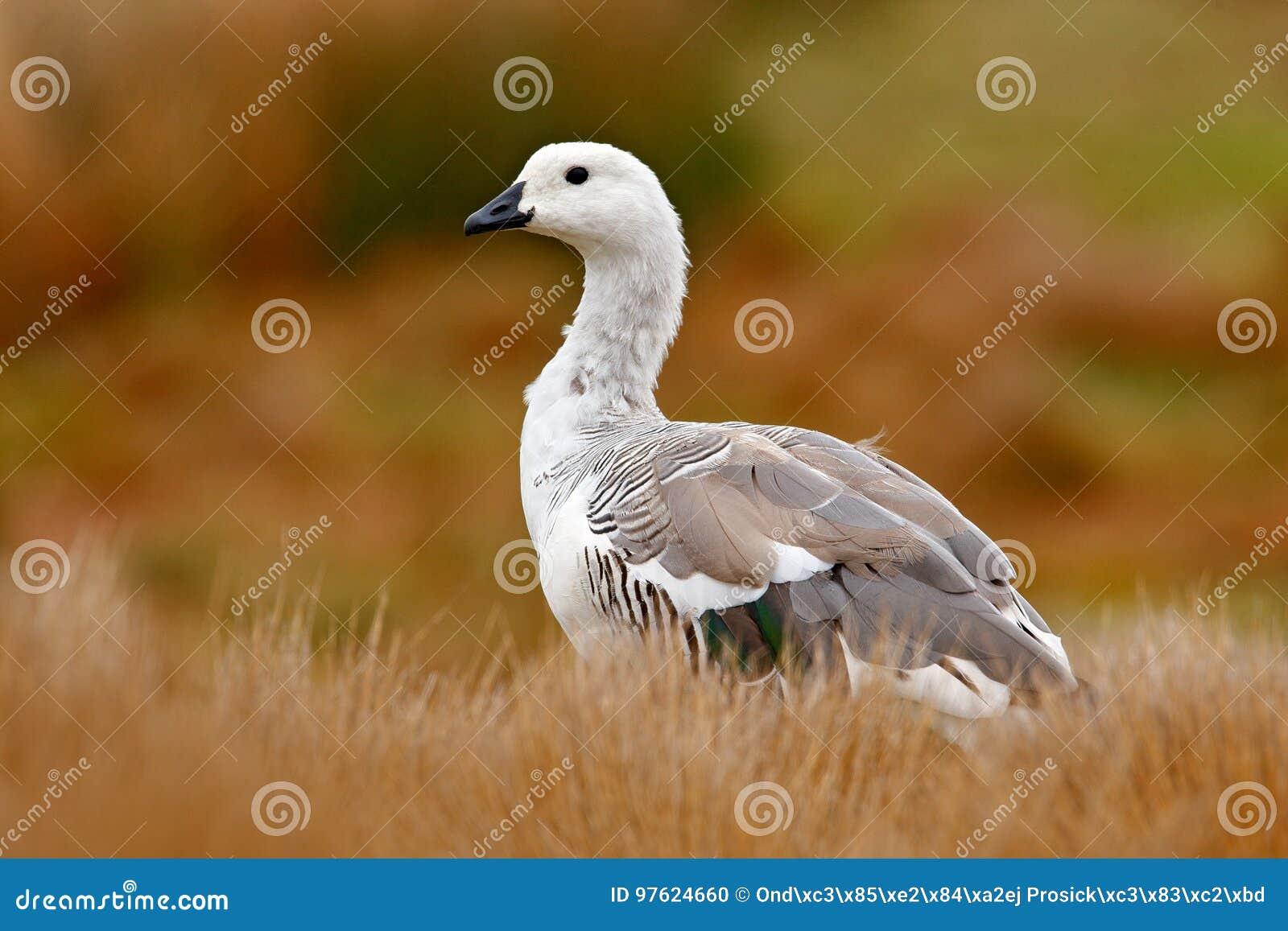 Weißer Vogel mit langem Hals Weiße Gans im Gras Weißer Vogel im grünen Gras Gans im Gras Wilde weiße Hochlandgans, C