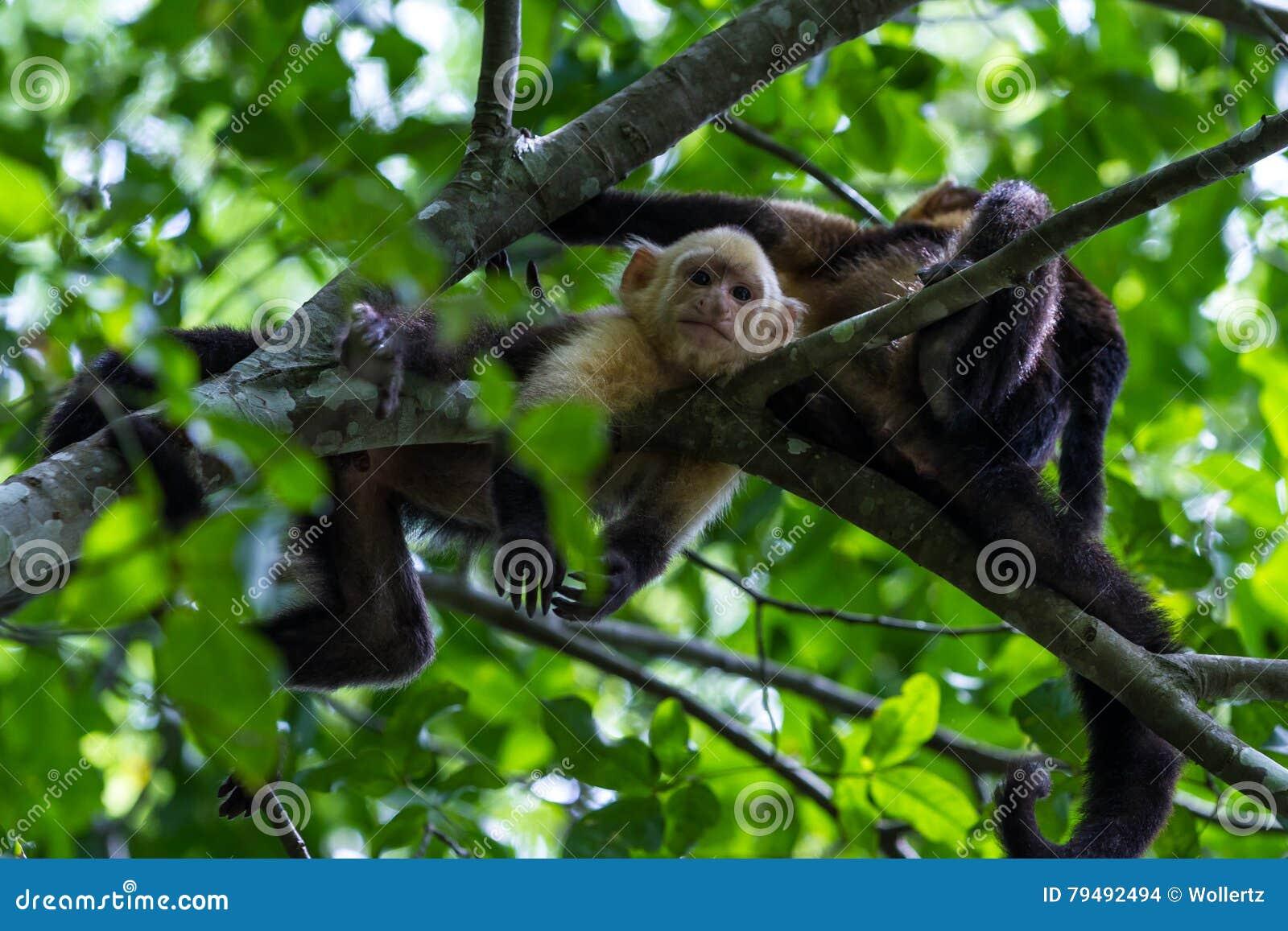 Weißer vorangegangener Capuchin - Cebus-capucinus - Pura Vida