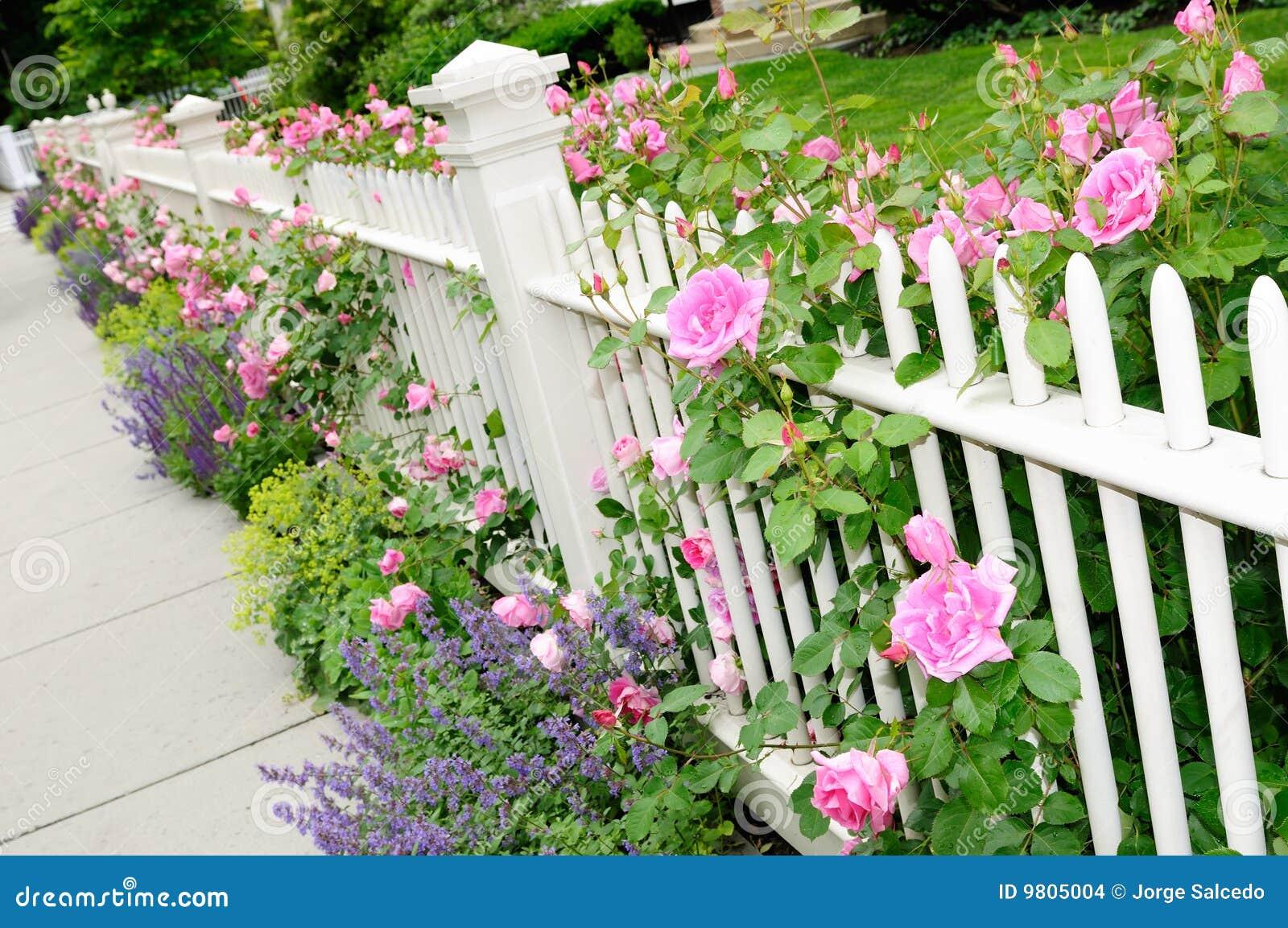 weißer zaun und rosafarbene rose-nahaufnahme stockfoto - bild von
