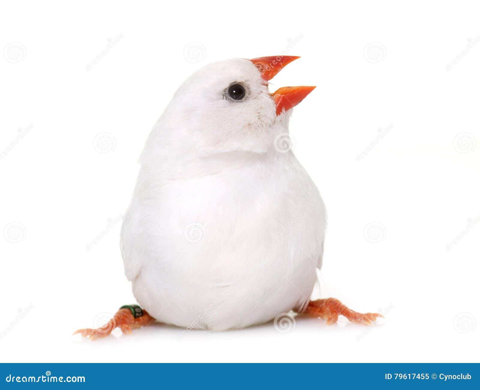 Weißer Zebrafink im Studio stockbild. Bild von rahmen - 79617455
