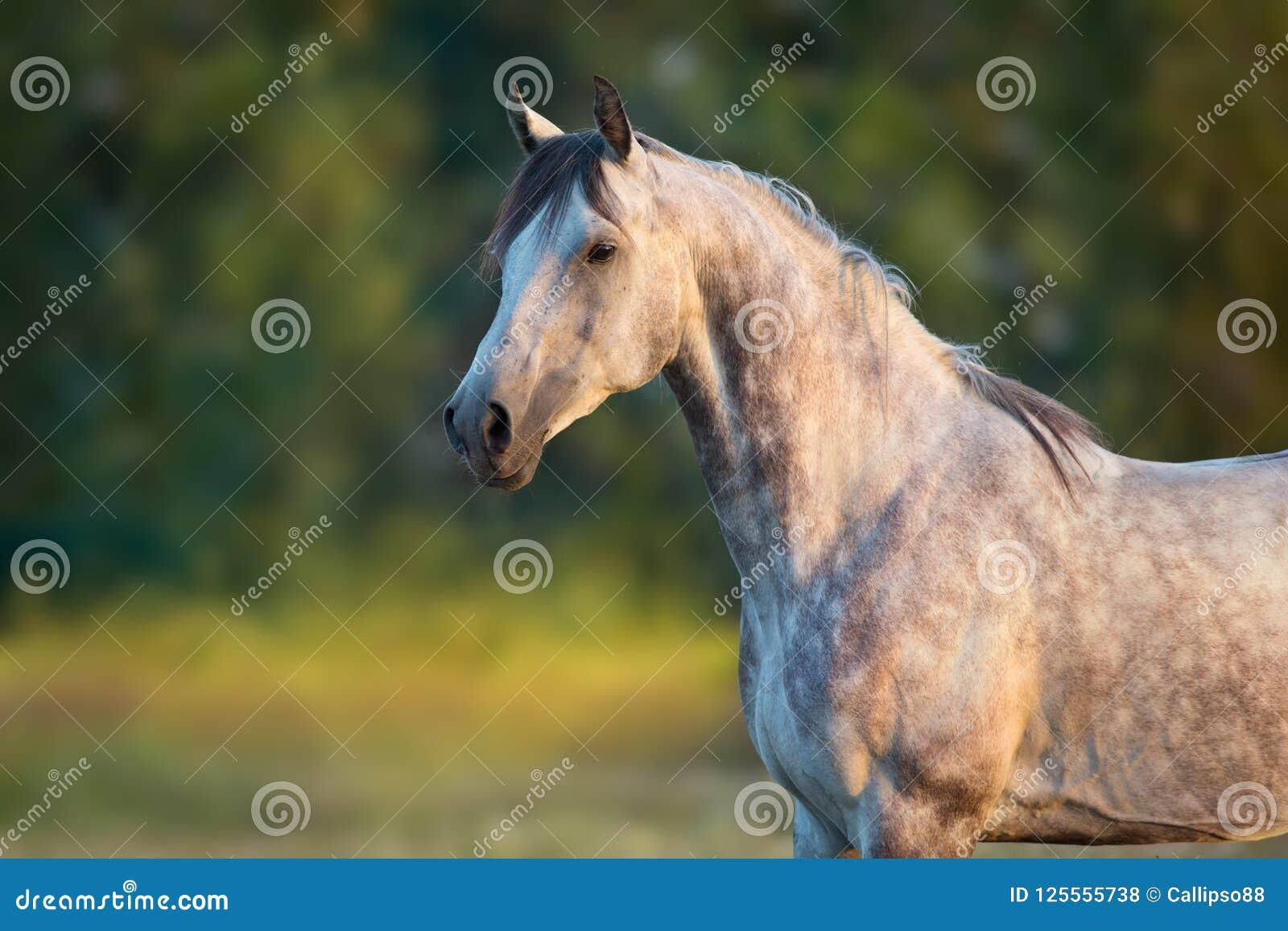 Weißes arabisches Pferd