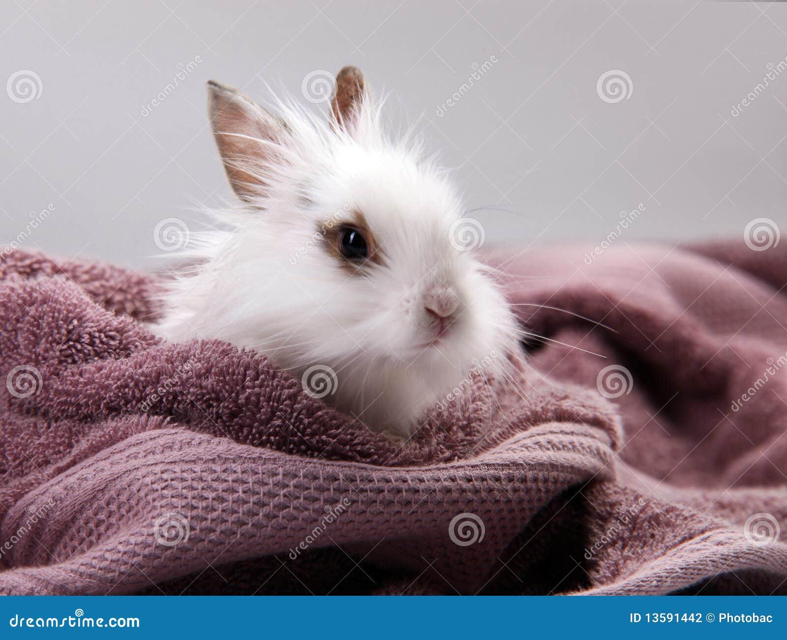 Weißes Hauskaninchen Nestled im violetten Bad-Tuch