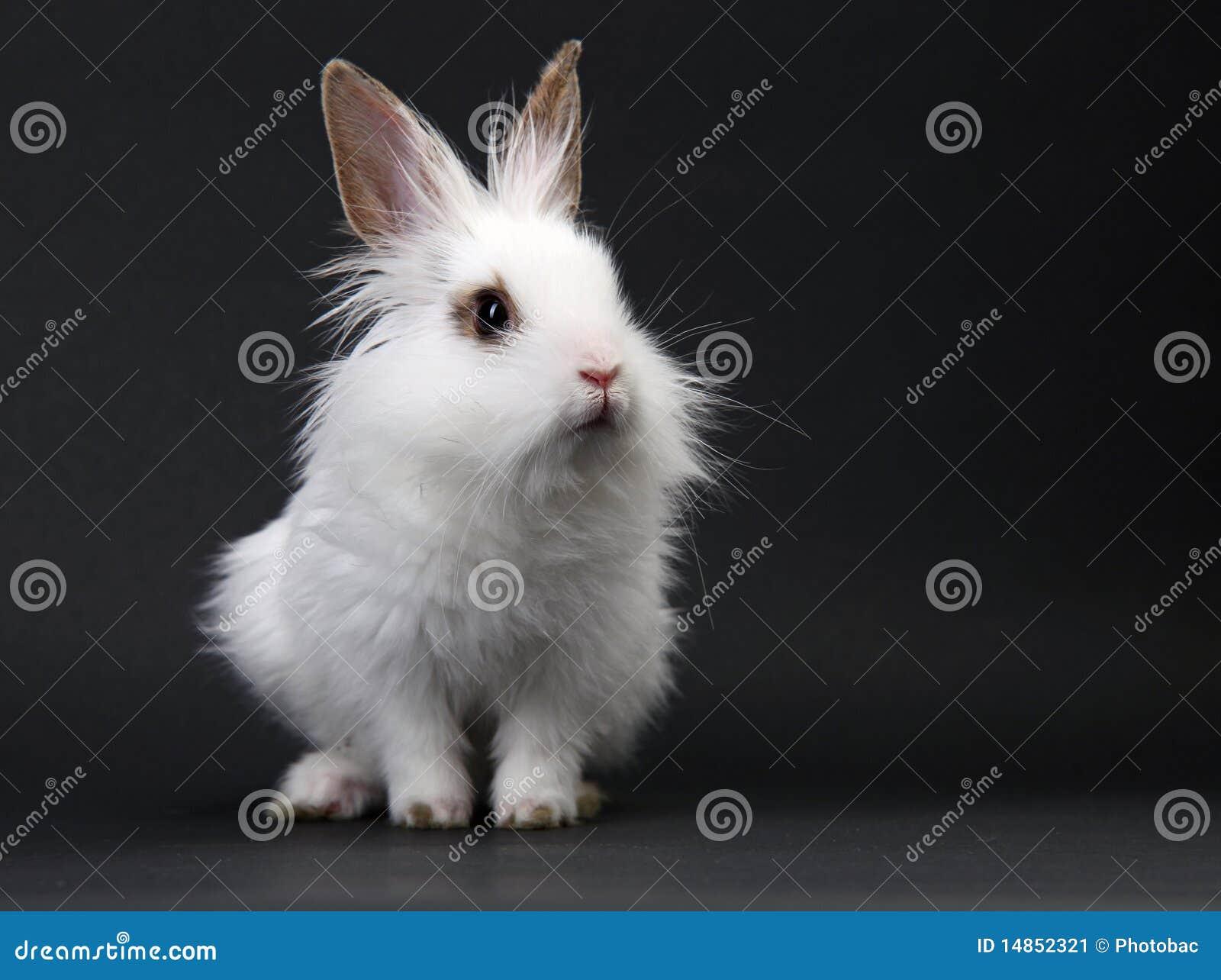 Weißes inländisches Schätzchenkaninchen