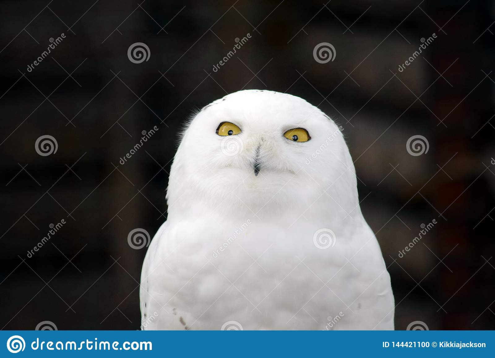 Weißes Owl Nyctea Scandiaca