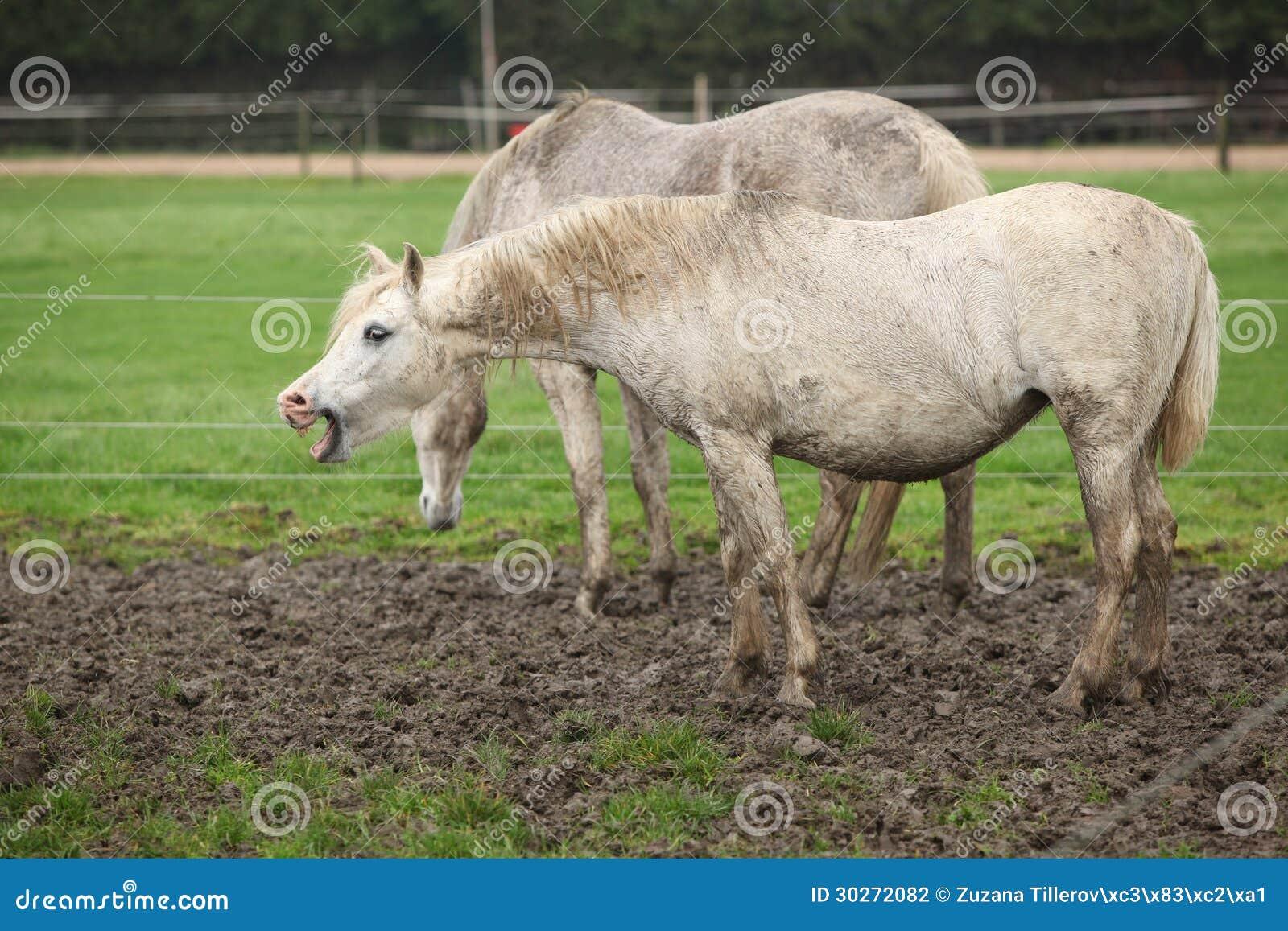 Weißes Pony im Schlammgegähne