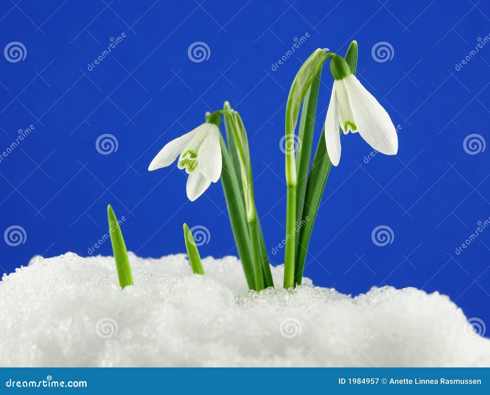 Weißes snowdrop