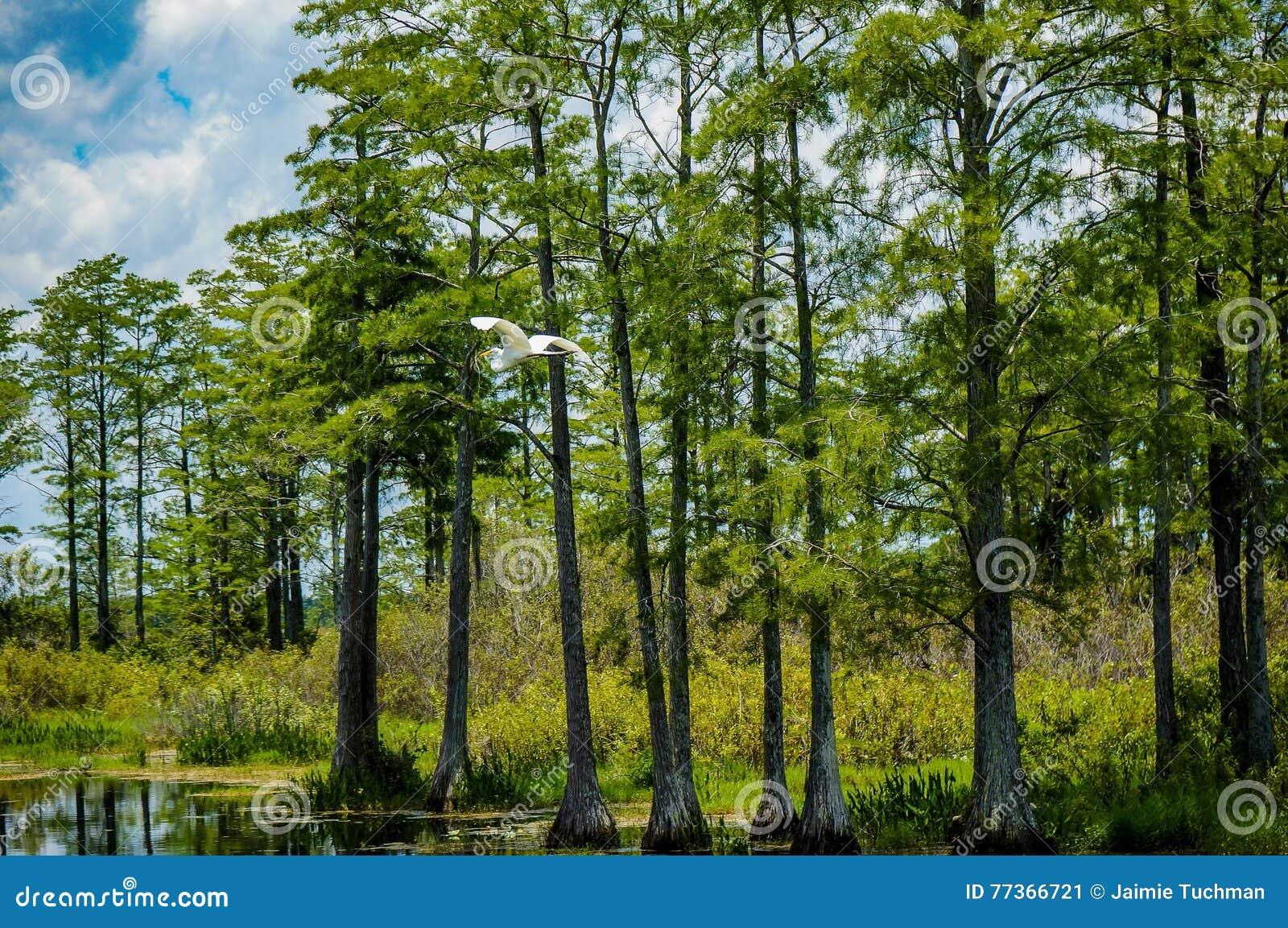 Weißes Vogelfliegen im Sumpf