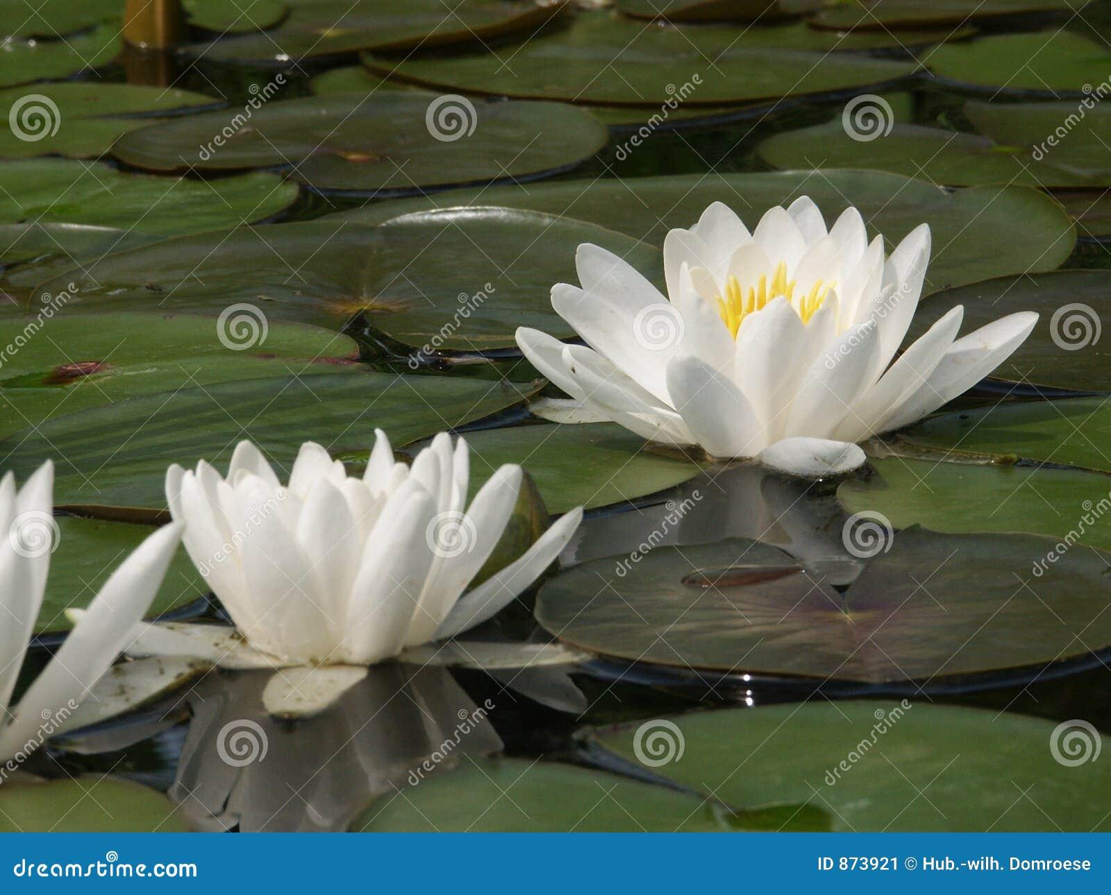 Weißes Wasser lillies