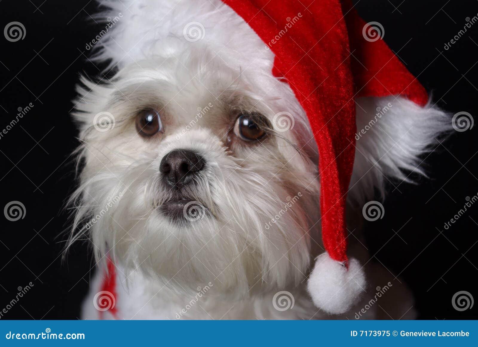 Weißes Weihnachtshund stockbild. Bild von weiß, weihnachten - 7173975