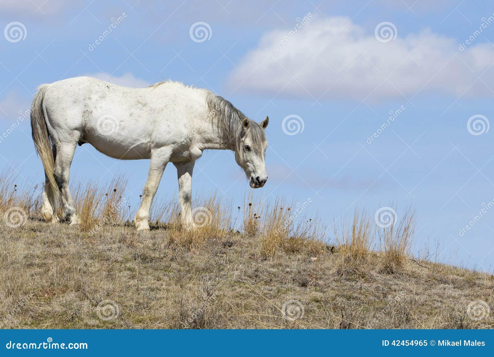Weißes wildes Pferd in Roosevelt National Park