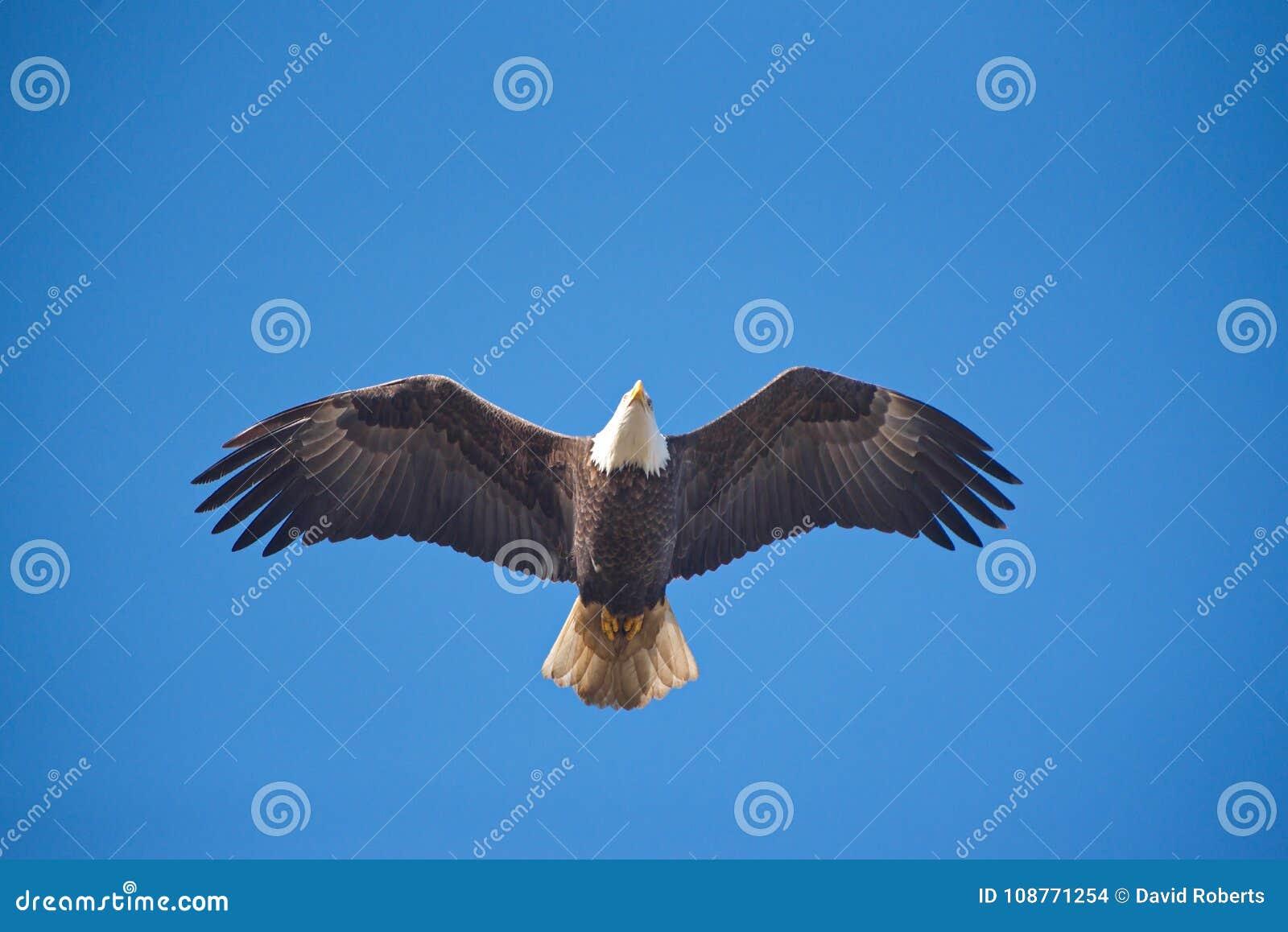 Weißkopfseeadler direkt oben