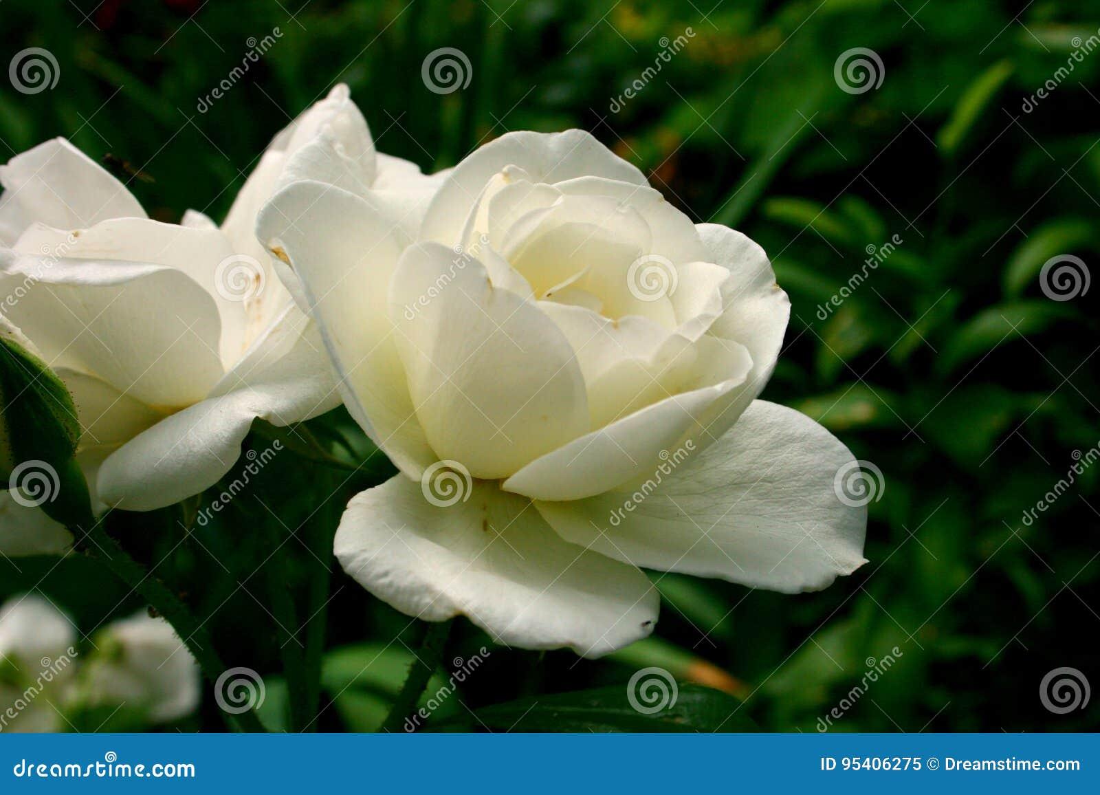 Weißrose, empfindliche Blumenblätter der weißen Blume