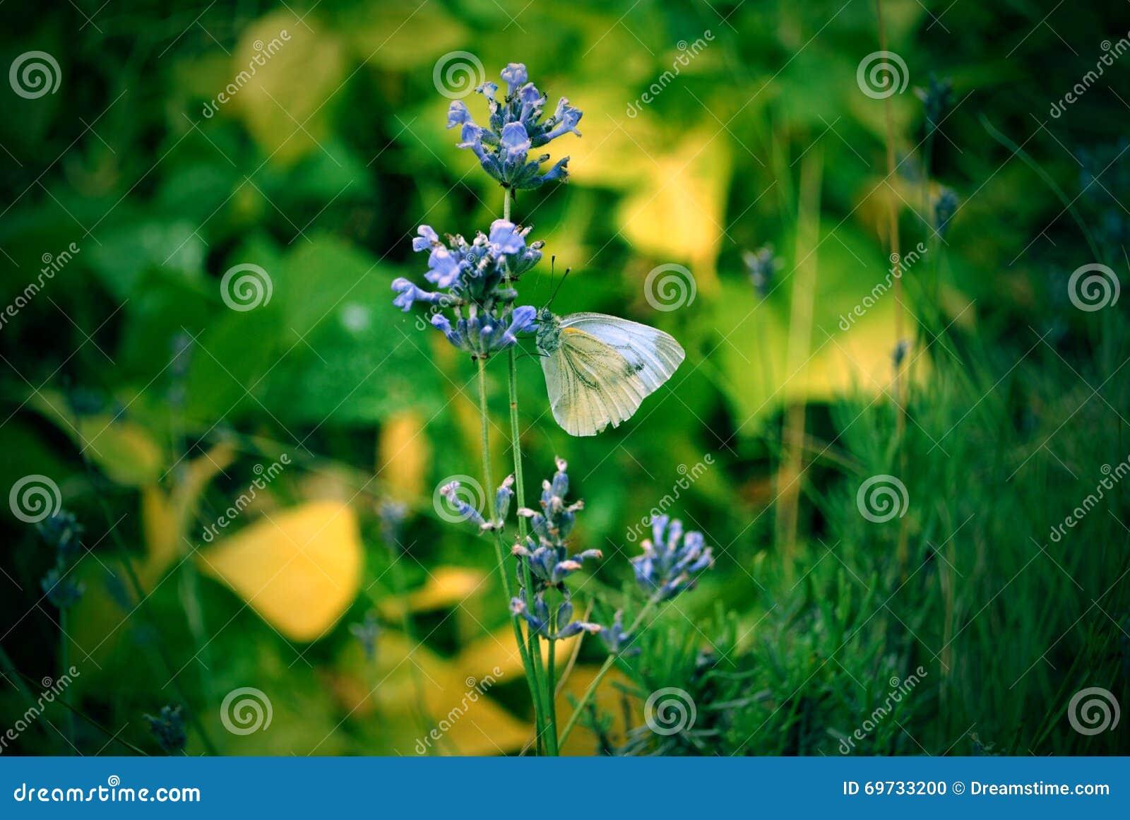 Weißschmetterling des Gartens auf einer Blume