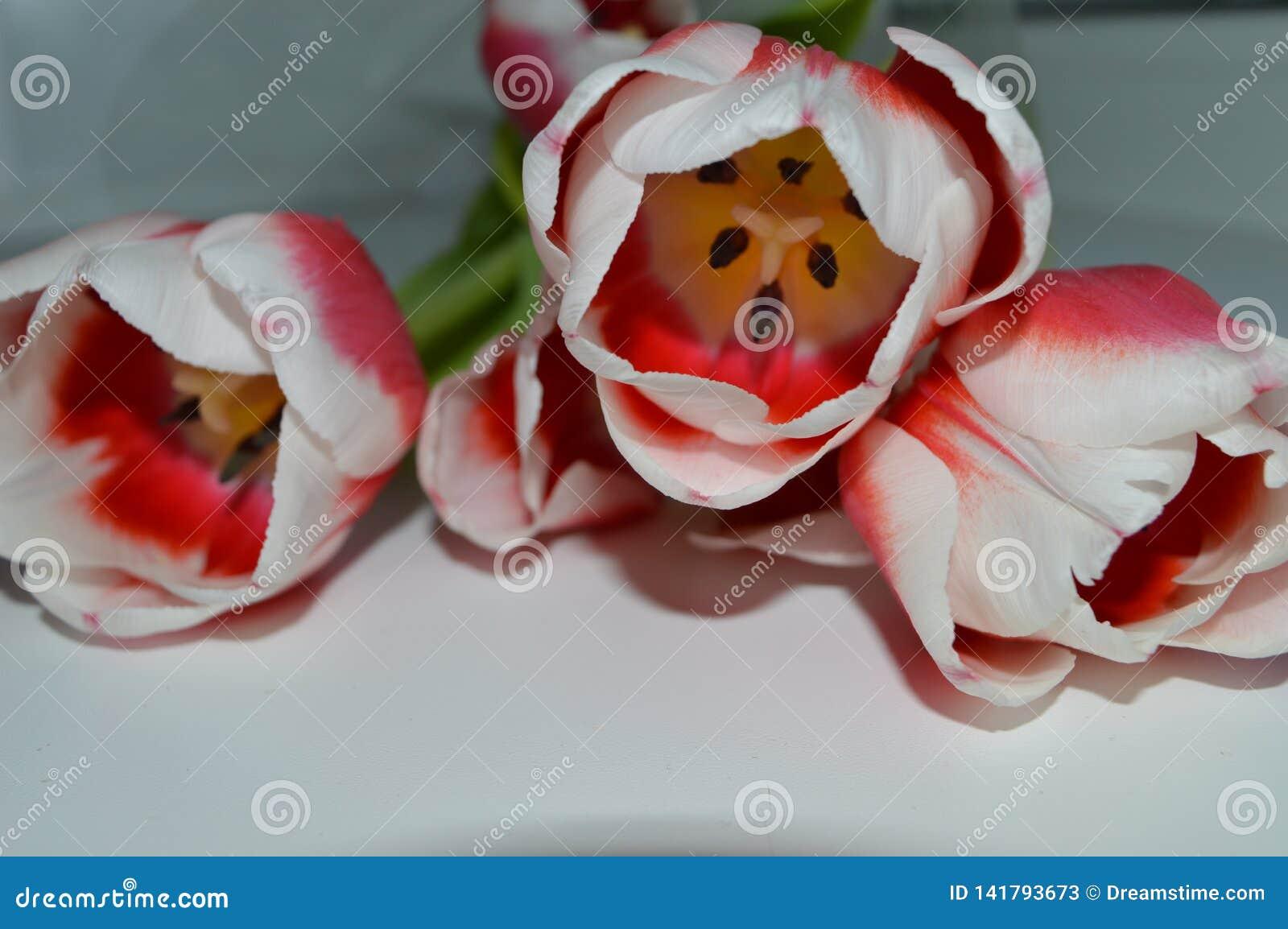 Weiß-rosa Tulpen auf einer weißen Tabelle