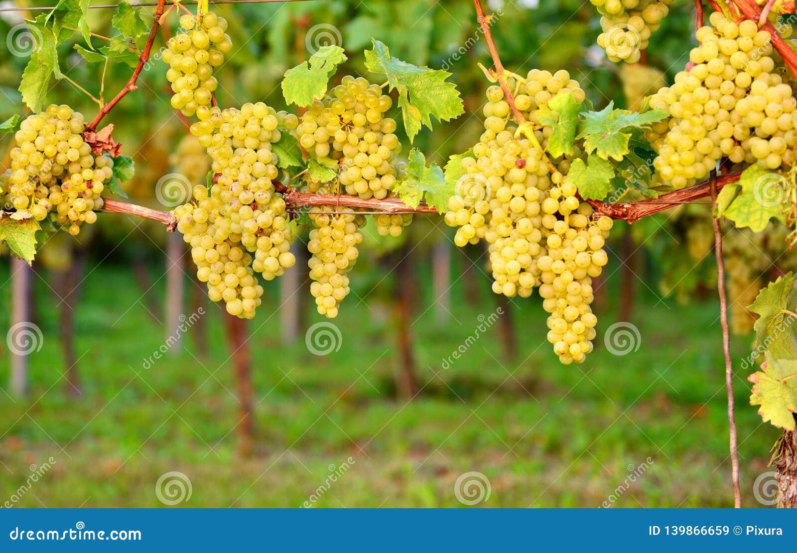 Weiße Trauben im Herbst Neuer Weinberg