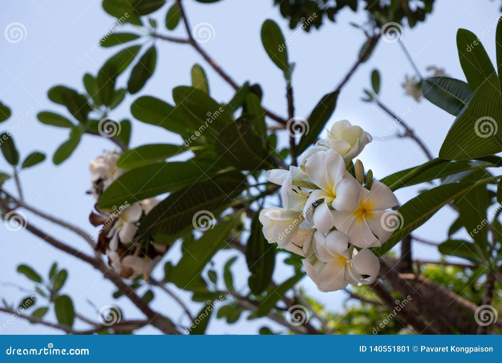Weiße und gelbe Plumeriablumen