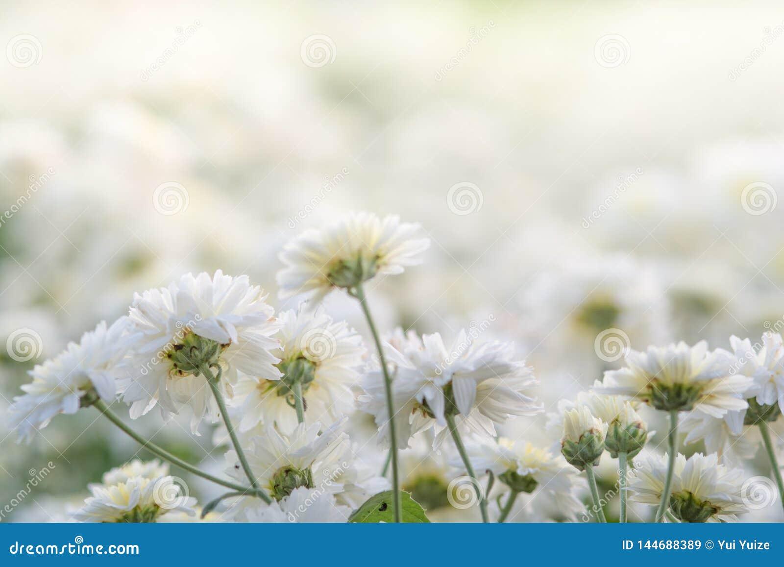 Wei?e Chrysanthemeblumen