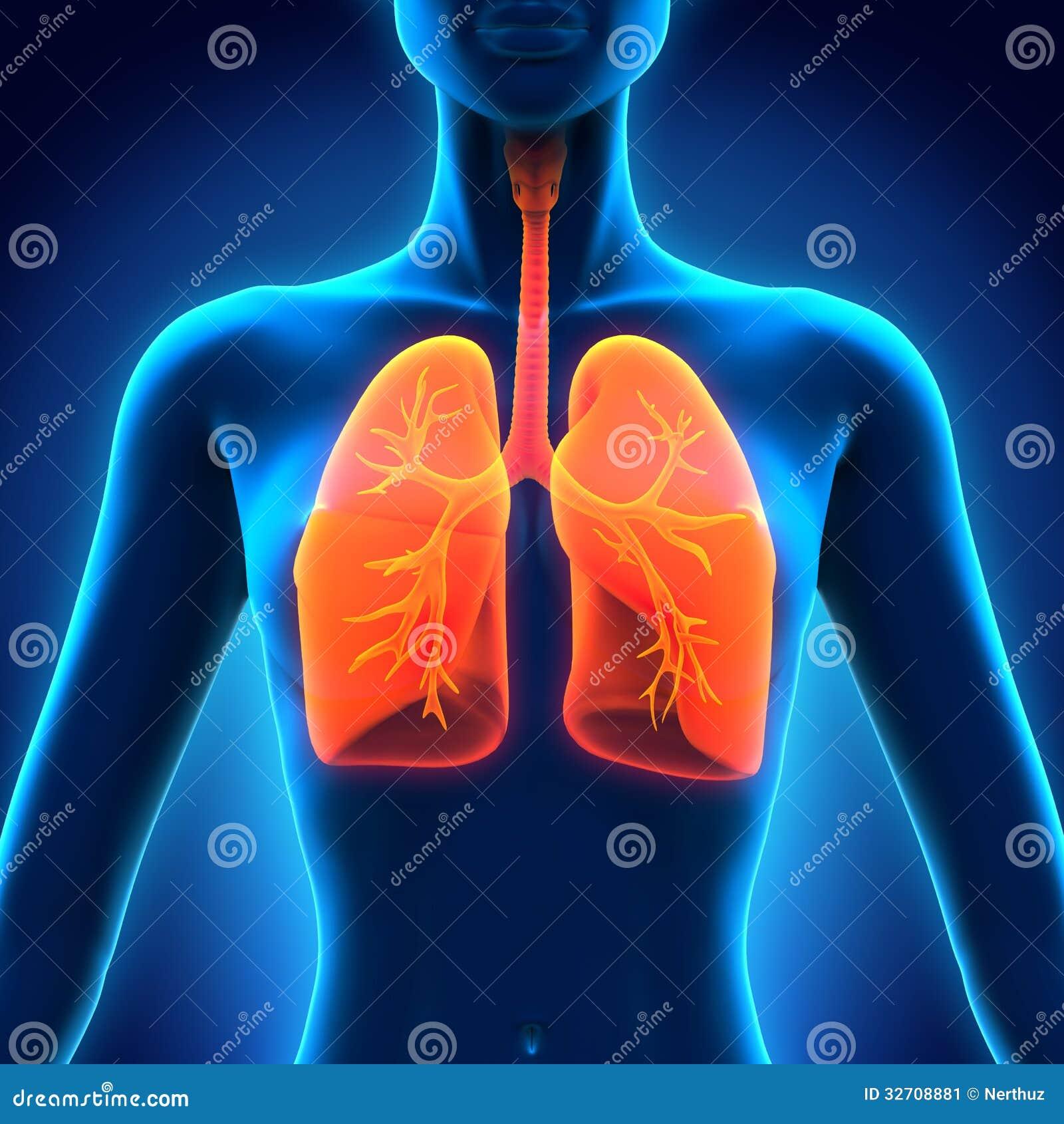Weibliche Anatomie Des Menschlichen Atmungssystems Stock Abbildung ...
