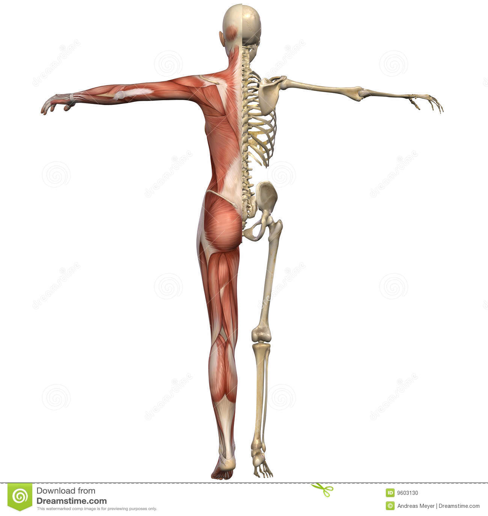 Weibliche Anatomie-Karosserie Stock Abbildung - Illustration von ...