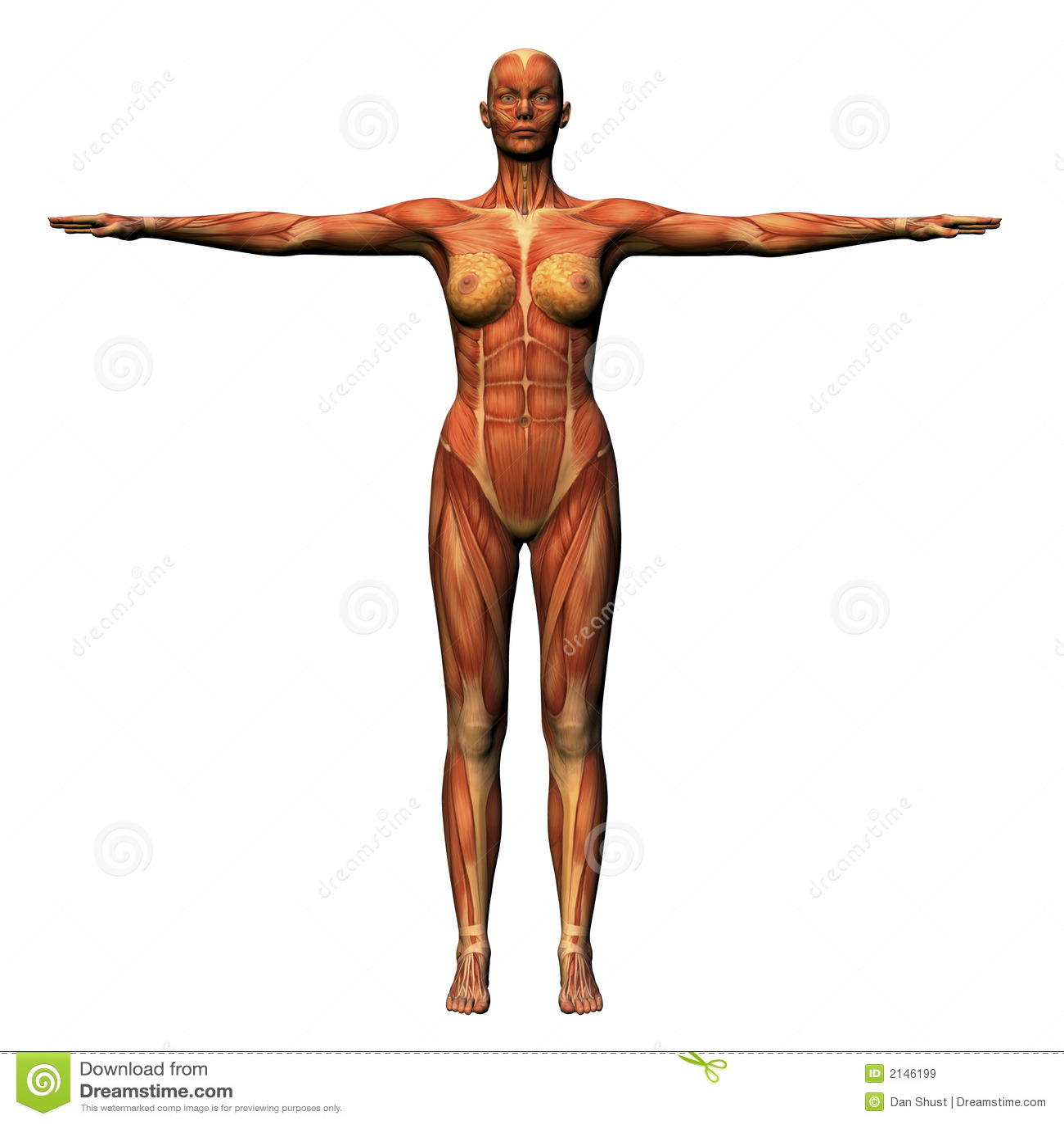 Wunderbar Anatomie Muskulatur Zeitgenössisch - Physiologie Von ...