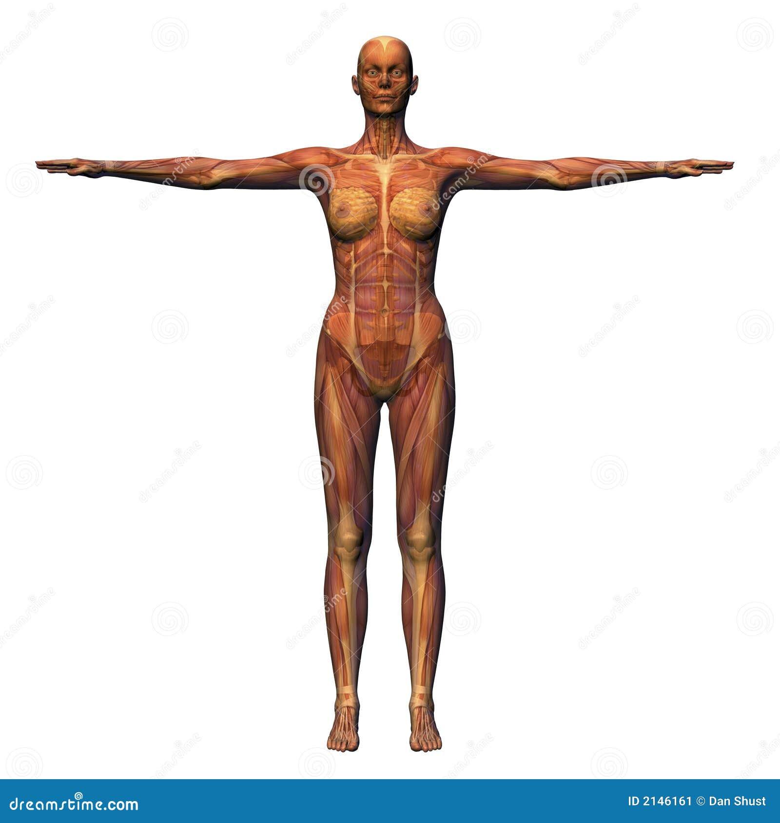 Weibliche Anatomie - Muskulatur W Stock Abbildung - Illustration von ...