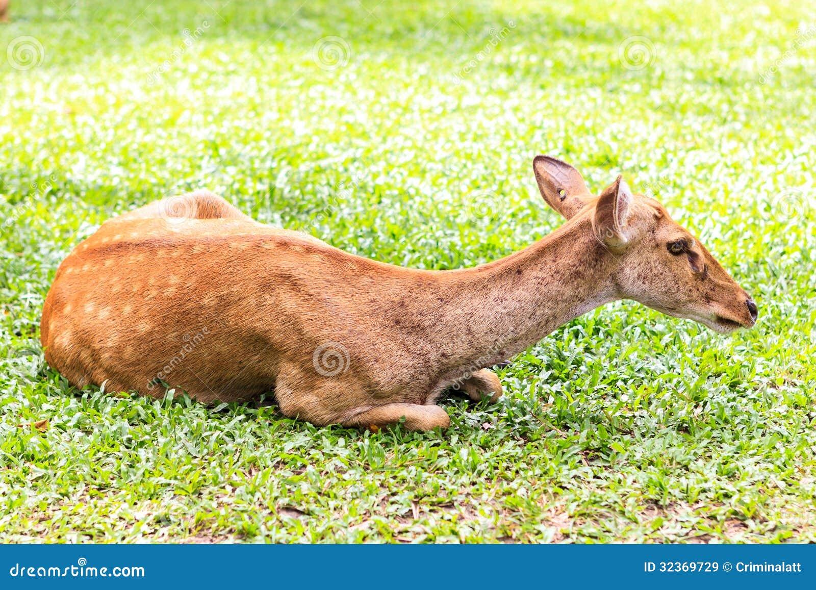 weibliche antilope auf dem boden stockbild bild von frau wild 32369729. Black Bedroom Furniture Sets. Home Design Ideas